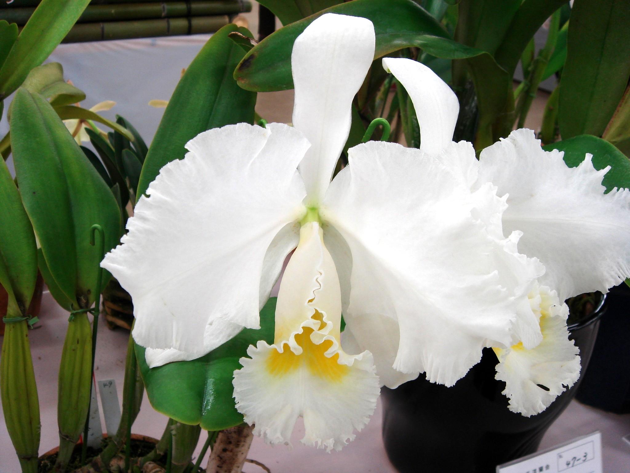 Cattleya trianae Lindley & Reichenbach f. var. alba
