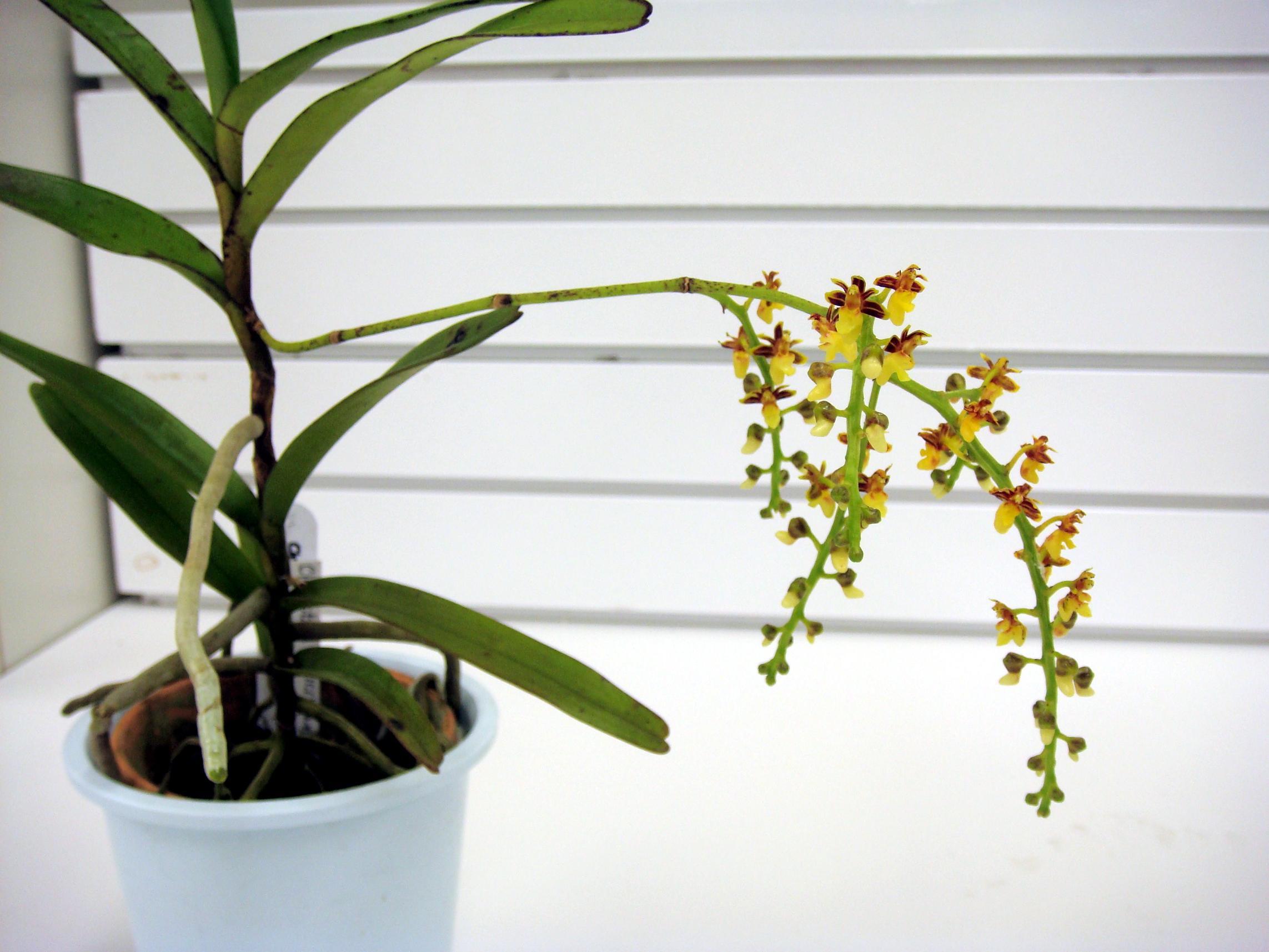 http://orchids.la.coocan.jp/Cleisostoma/Cleisostoma%20duplicilobum/DSC06714.JPG
