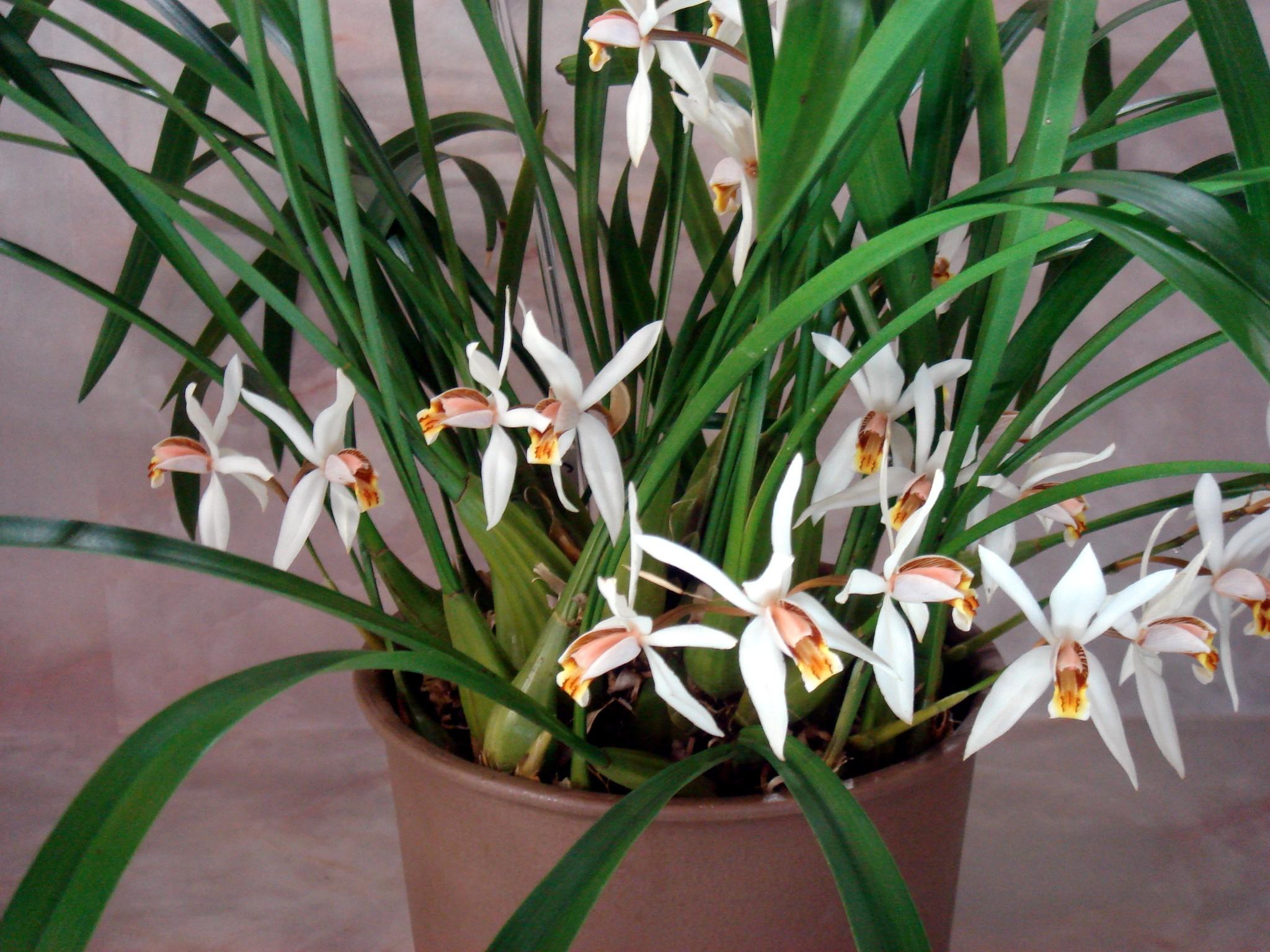http://orchids.la.coocan.jp/Coelogyne/Coelogyne%20viscosa/DSC01679.JPG