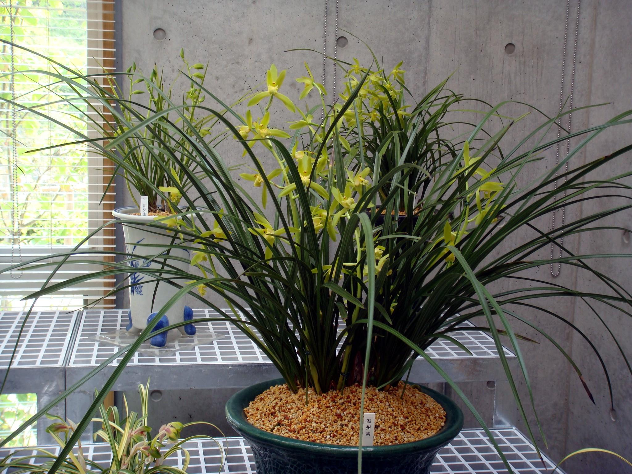 http://orchids.la.coocan.jp/Cymbidium/Cymbidium%20faberi/DSC02982.JPG