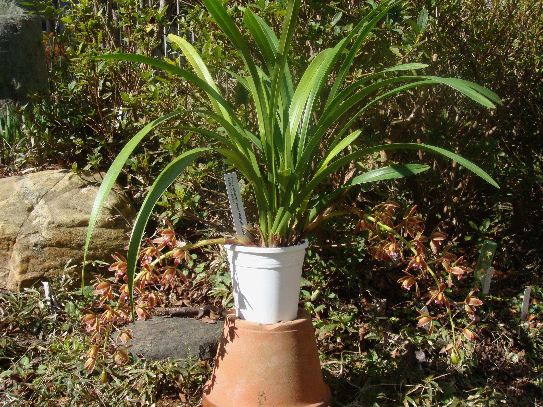 http://orchids.la.coocan.jp/Cymbidium/Cymbidium%20floribundum/DSC02824.JPG