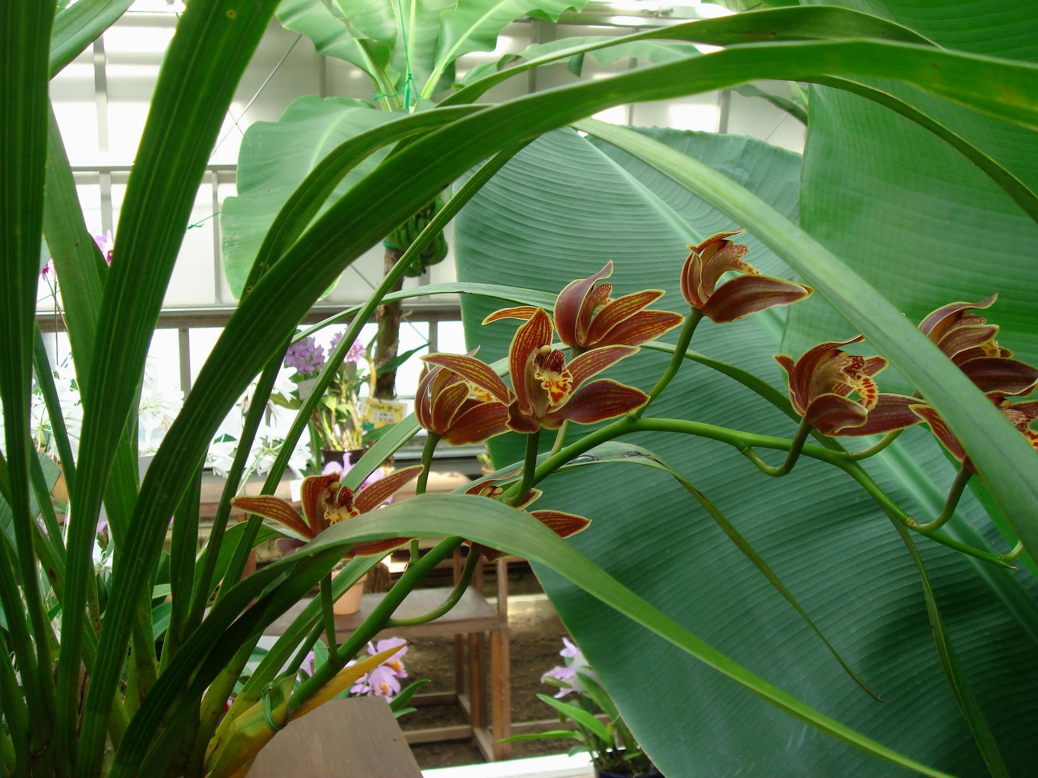 http://orchids.la.coocan.jp/Cymbidium/Cymbidium%20iridioides/DSC04054.JPG