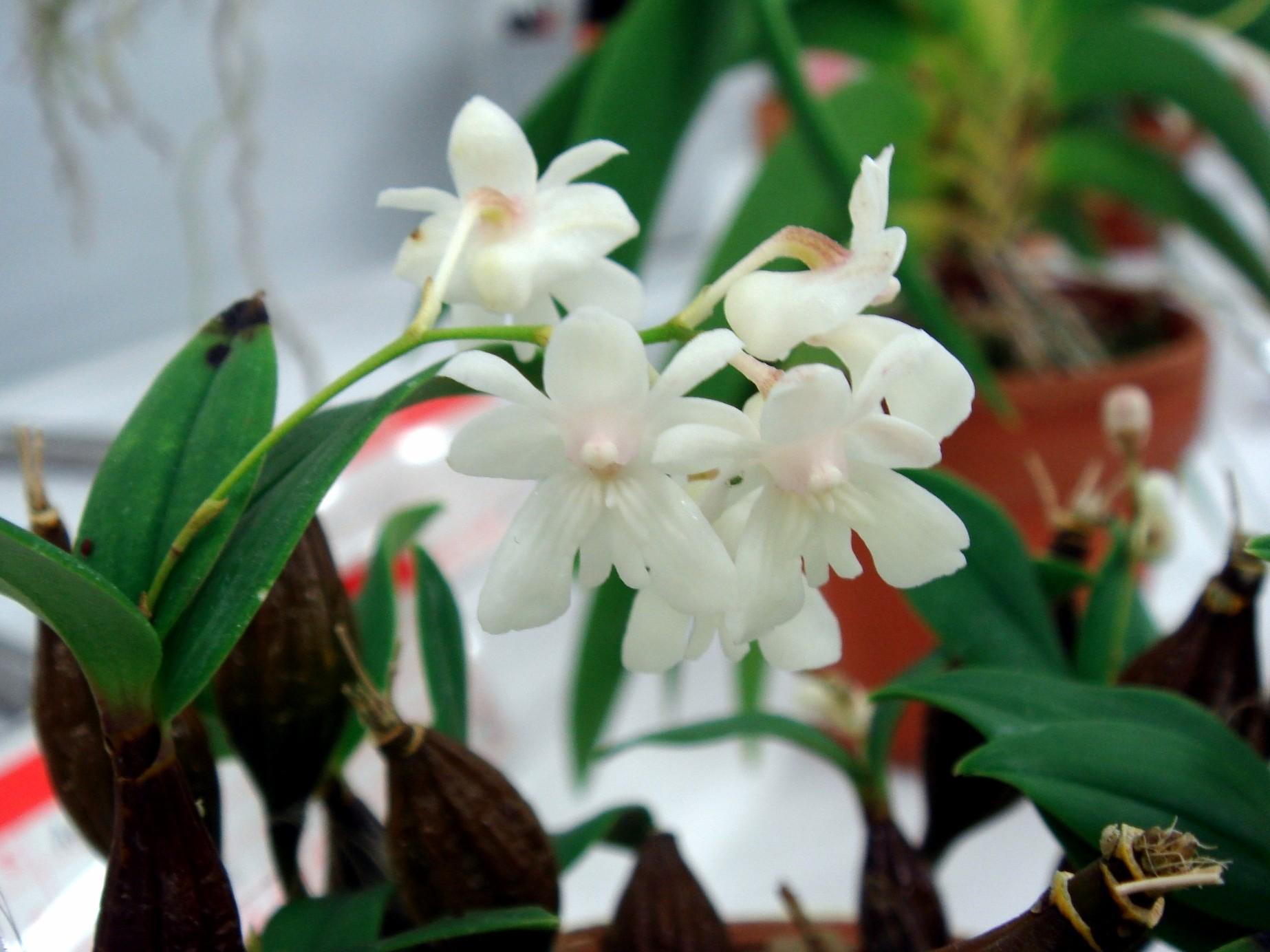 http://orchids.la.coocan.jp/Dendrobium/Dendrobium%20aberrans/DSC07147.JPG