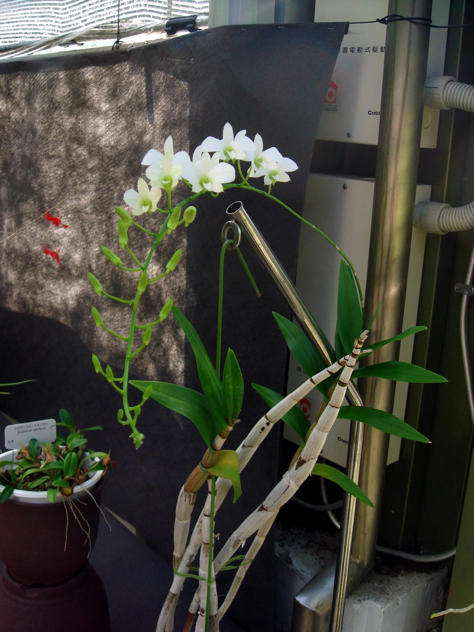 http://orchids.la.coocan.jp/Dendrobium/Dendrobium%20affine/DSC01729.JPG
