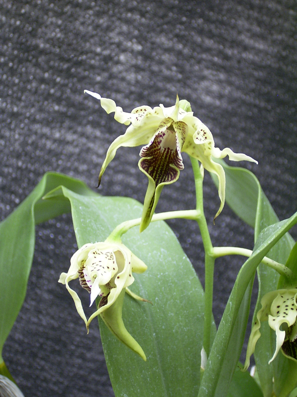 http://orchids.la.coocan.jp/Dendrobium/Dendrobium%20alexandrae/R0043347.JPG