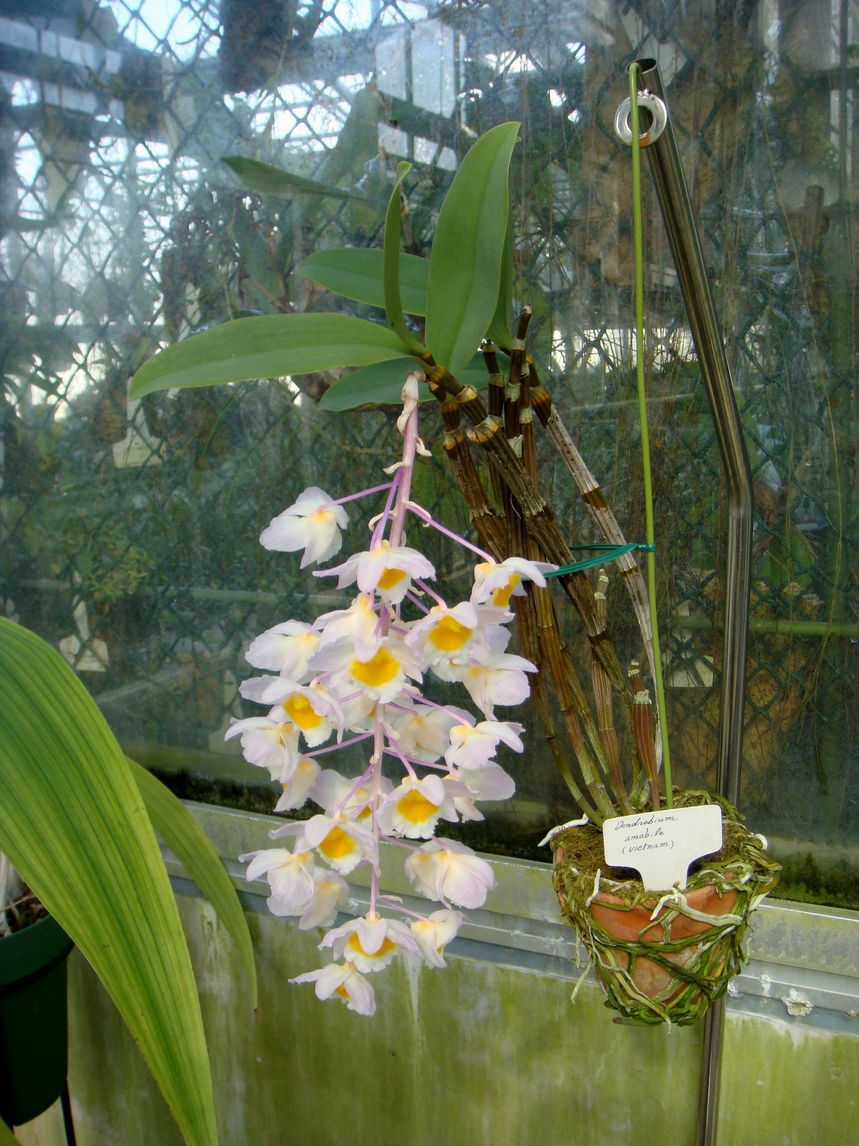 http://orchids.la.coocan.jp/Dendrobium/Dendrobium%20amabile/DSC04220.JPG