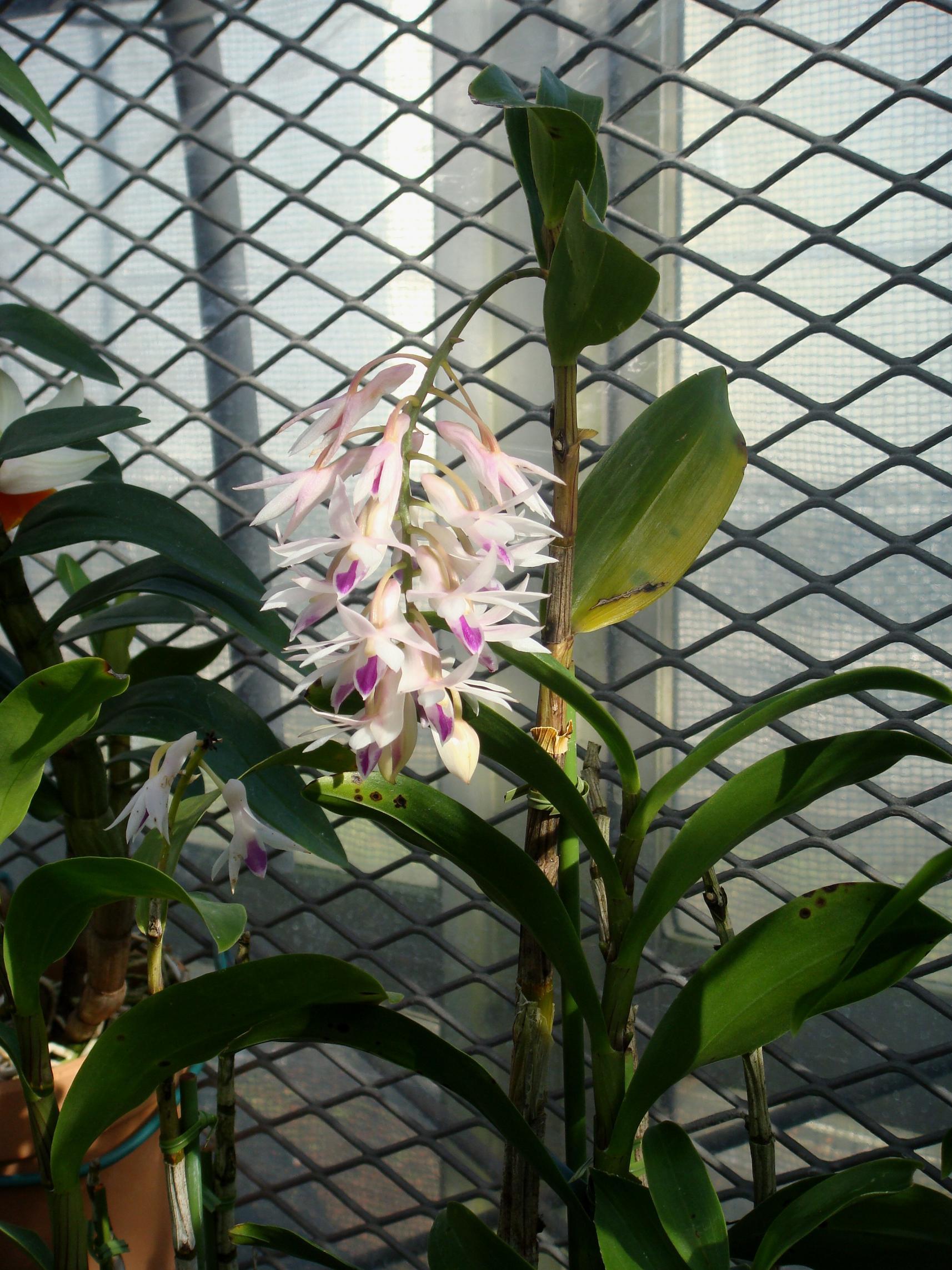 http://orchids.la.coocan.jp/Dendrobium/Dendrobium%20amethystoglossum/DSC05535.JPG