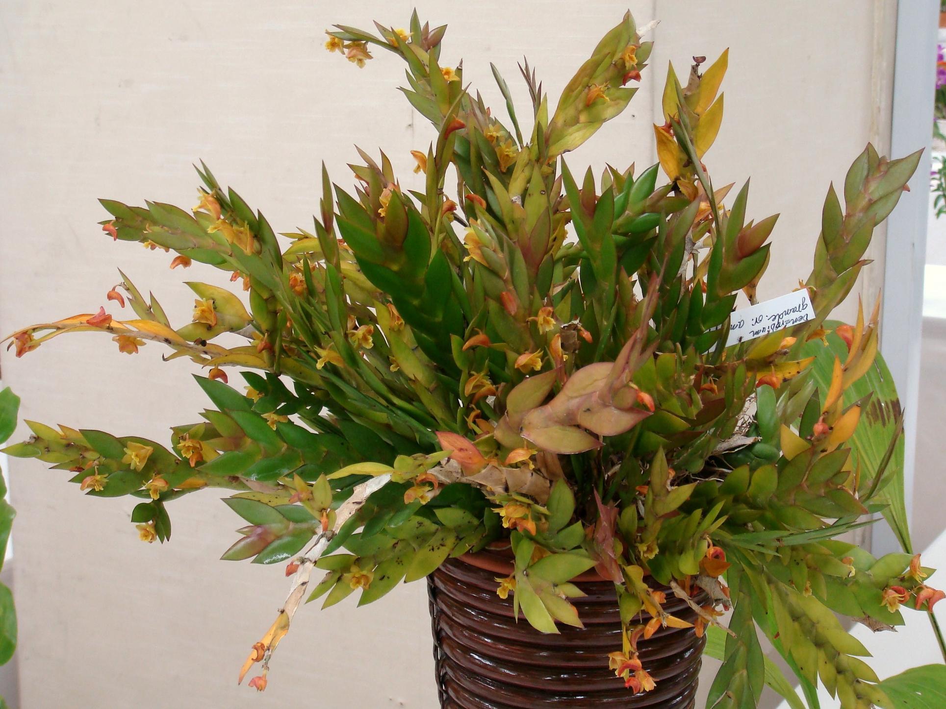 http://orchids.la.coocan.jp/Dendrobium/Dendrobium%20anceps/DSC06618.JPG