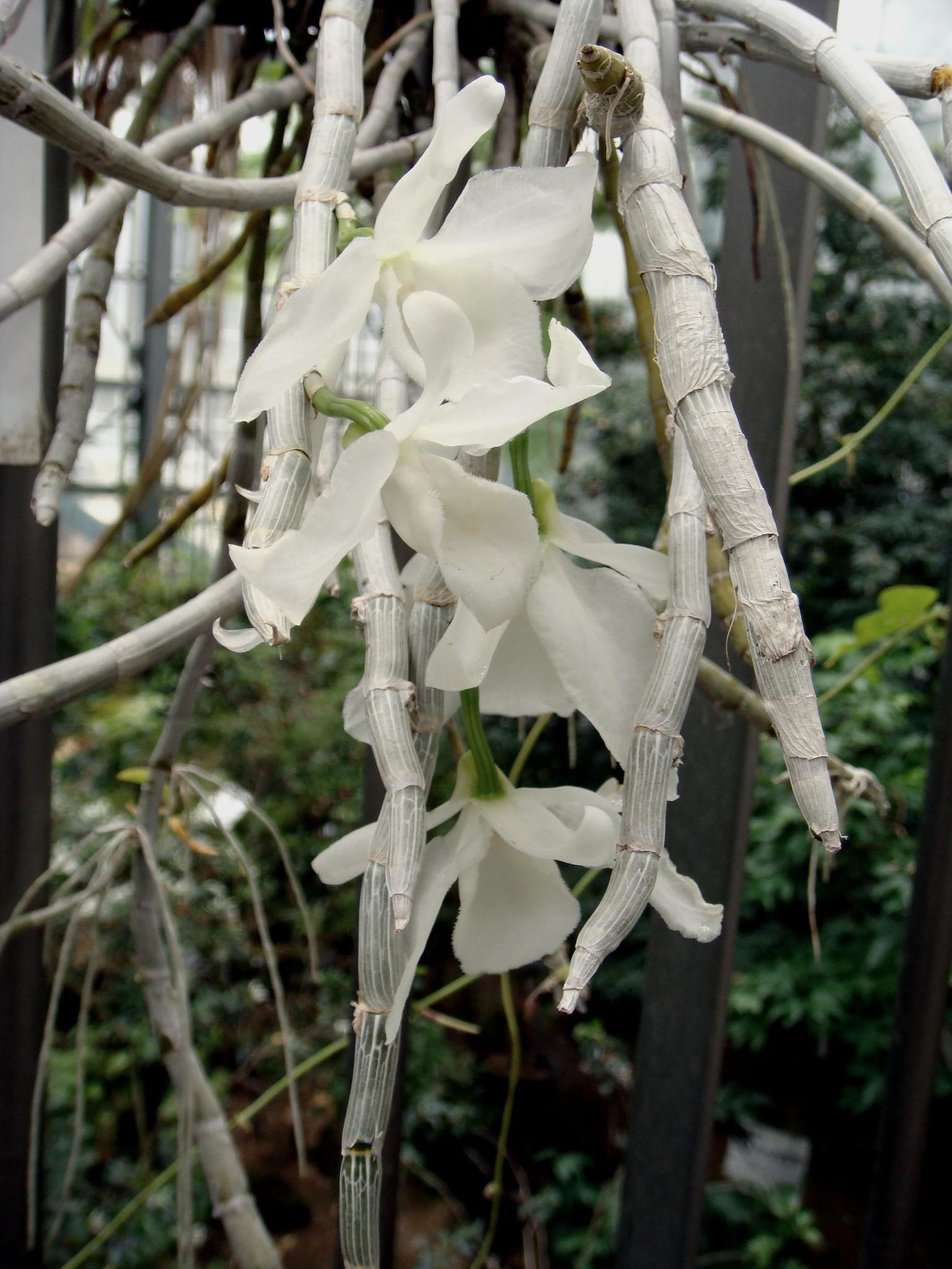 http://orchids.la.coocan.jp/Dendrobium/Dendrobium%20anosmum%20alba/DSC06760.JPG