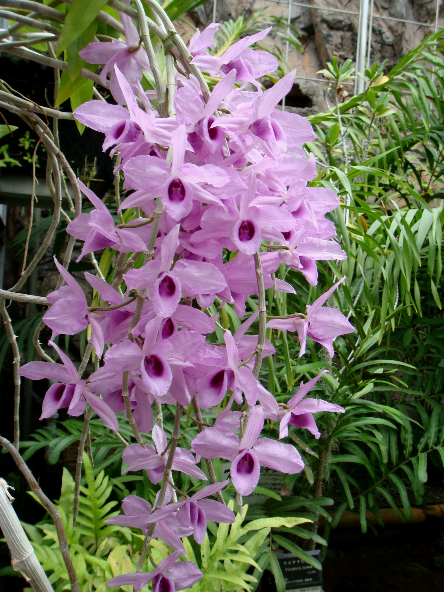http://orchids.la.coocan.jp/Dendrobium/Dendrobium%20anosmum/DSC06679.JPG