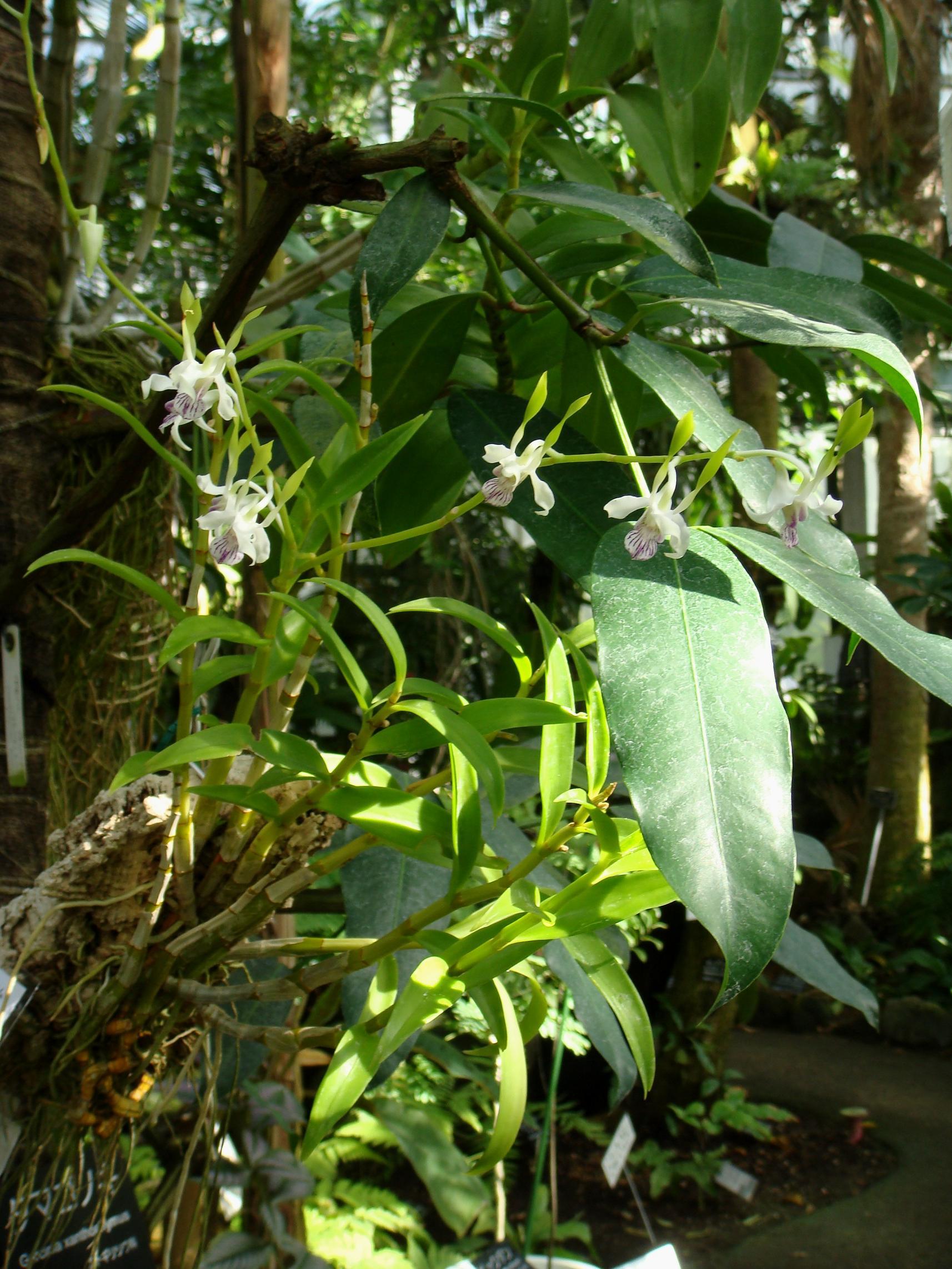 http://orchids.la.coocan.jp/Dendrobium/Dendrobium%20antennatum/DSC03018.JPG