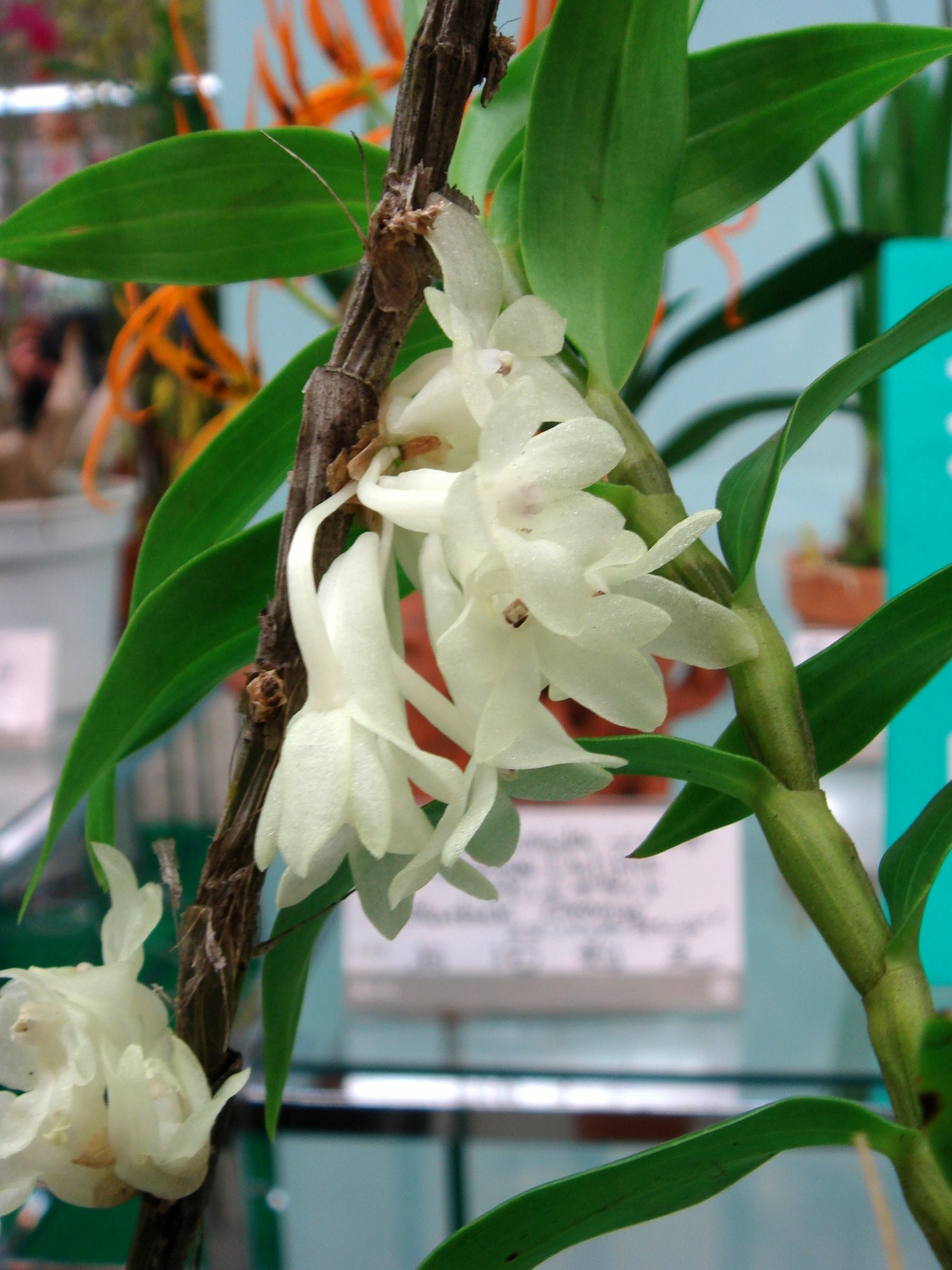 http://orchids.la.coocan.jp/Dendrobium/Dendrobium%20aphanochilum/DSC07580.JPG