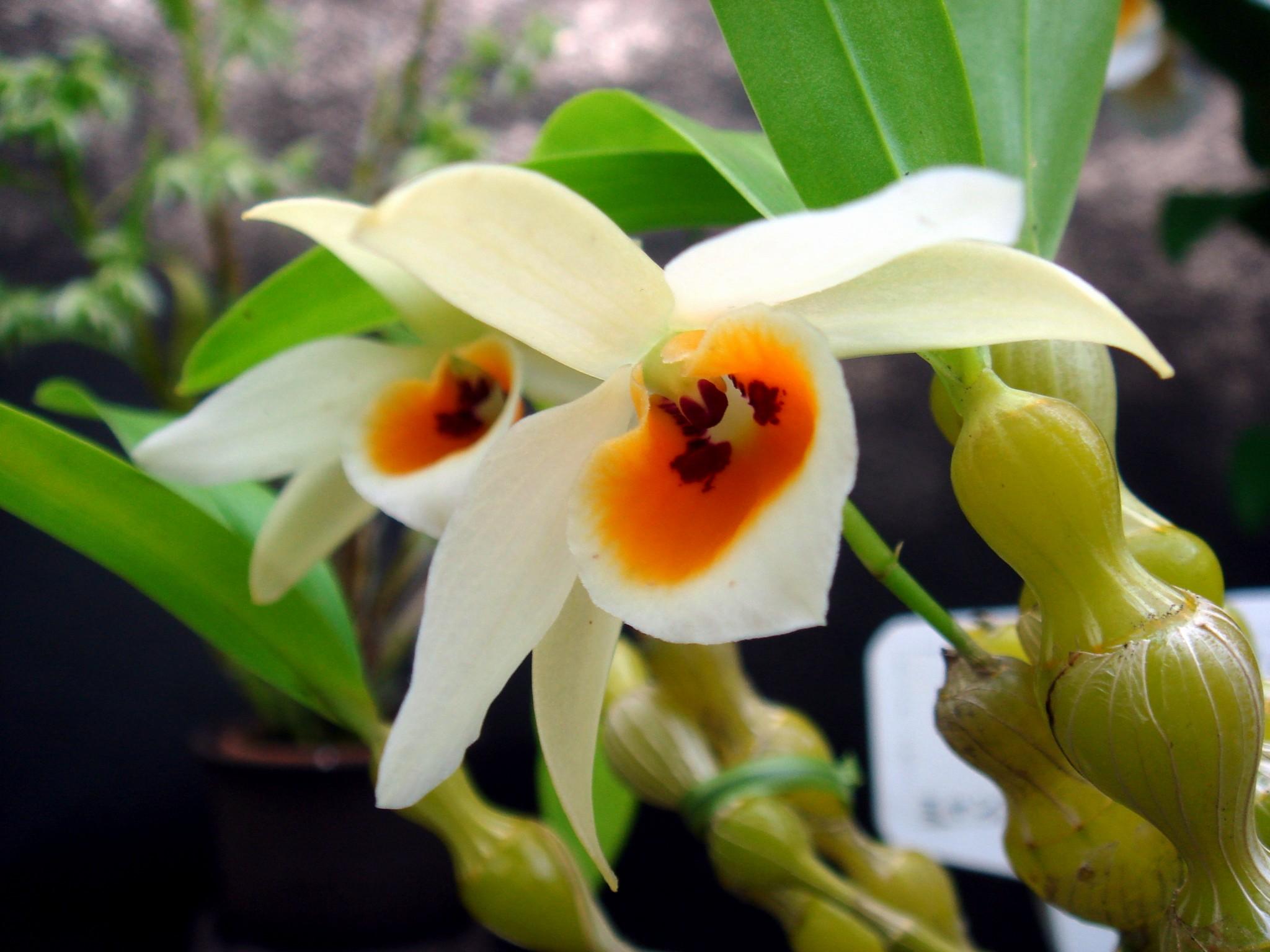 http://orchids.la.coocan.jp/Dendrobium/Dendrobium%20aphrodite/DSC02310.JPG
