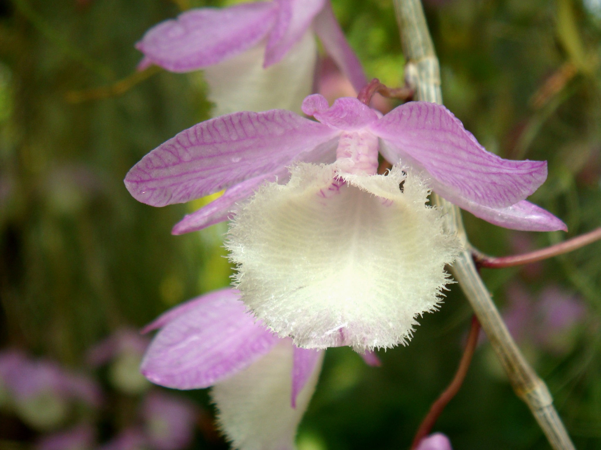 http://orchids.la.coocan.jp/Dendrobium/Dendrobium%20aphyllum/DSC05477.JPG