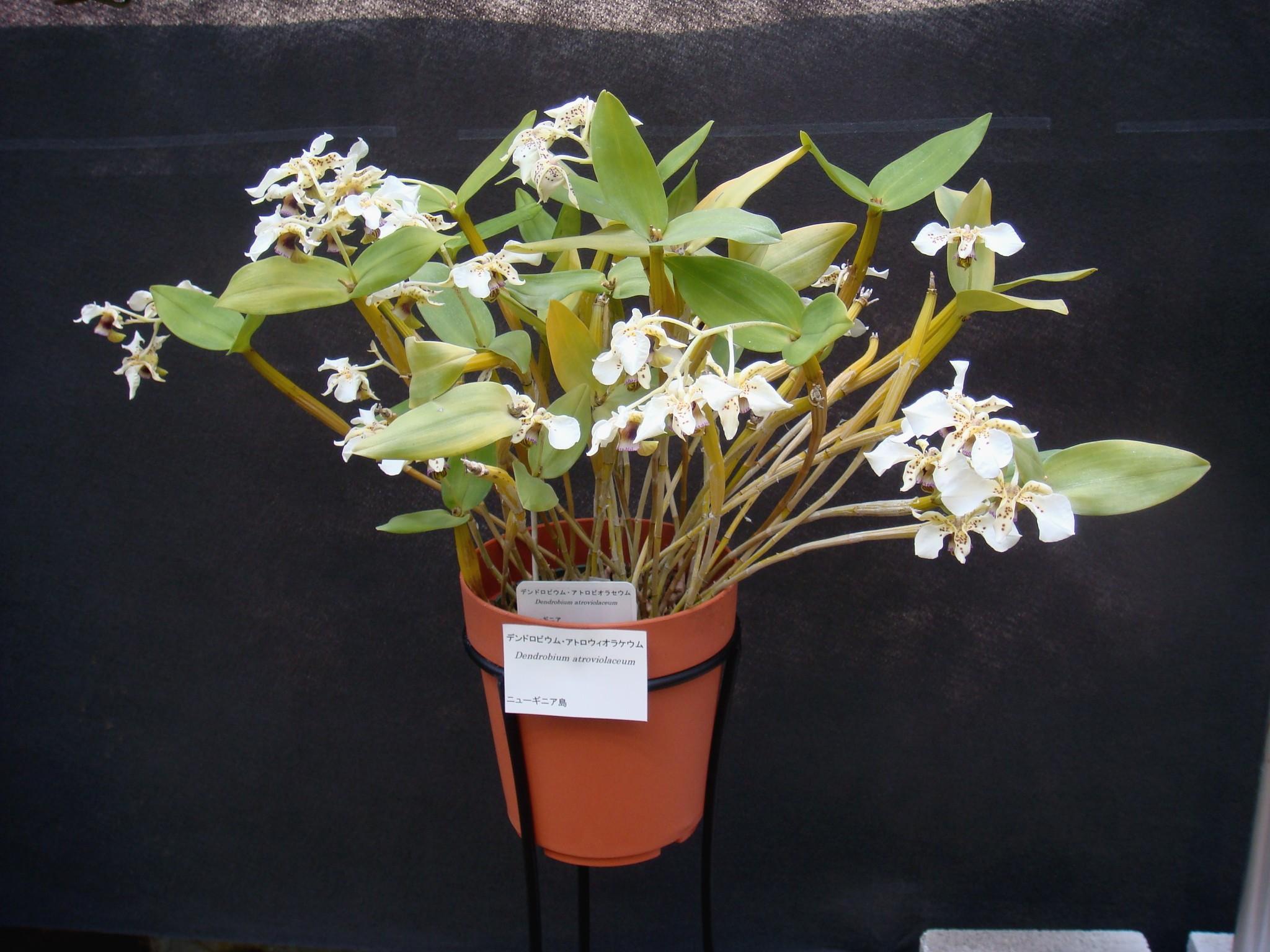 http://orchids.la.coocan.jp/Dendrobium/Dendrobium%20atroviolaceum/DSC05598.JPG
