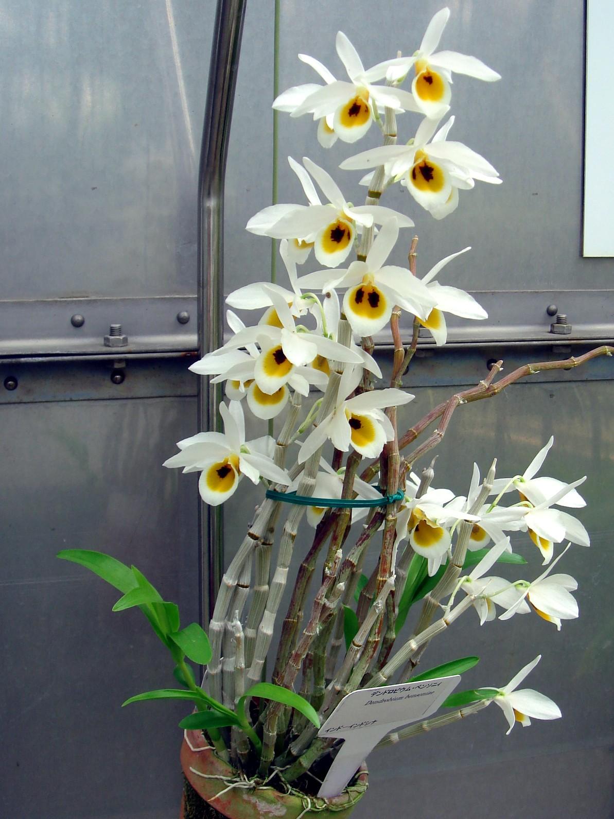 http://orchids.la.coocan.jp/Dendrobium/Dendrobium%20bensoniae/DSC01786.JPG