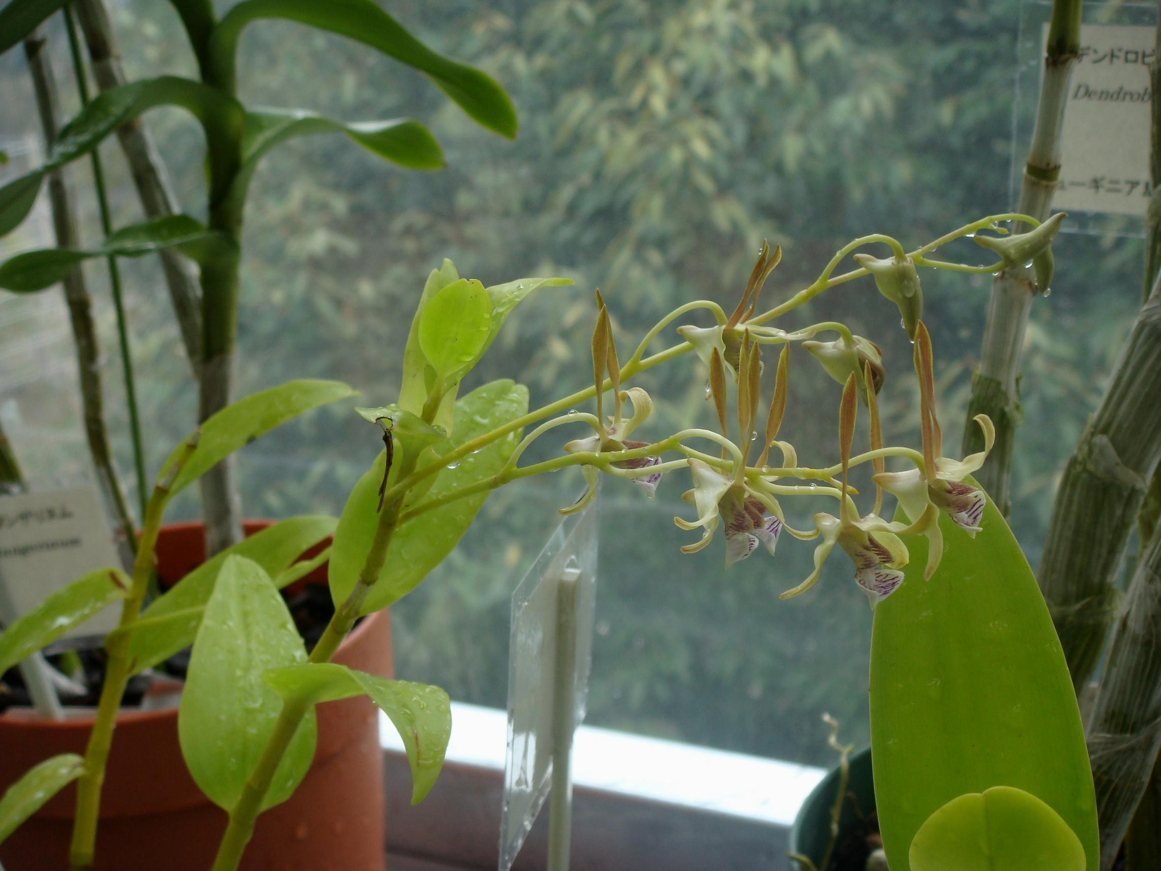 http://orchids.la.coocan.jp/Dendrobium/Dendrobium%20bicaudatum/DSC09794.JPG