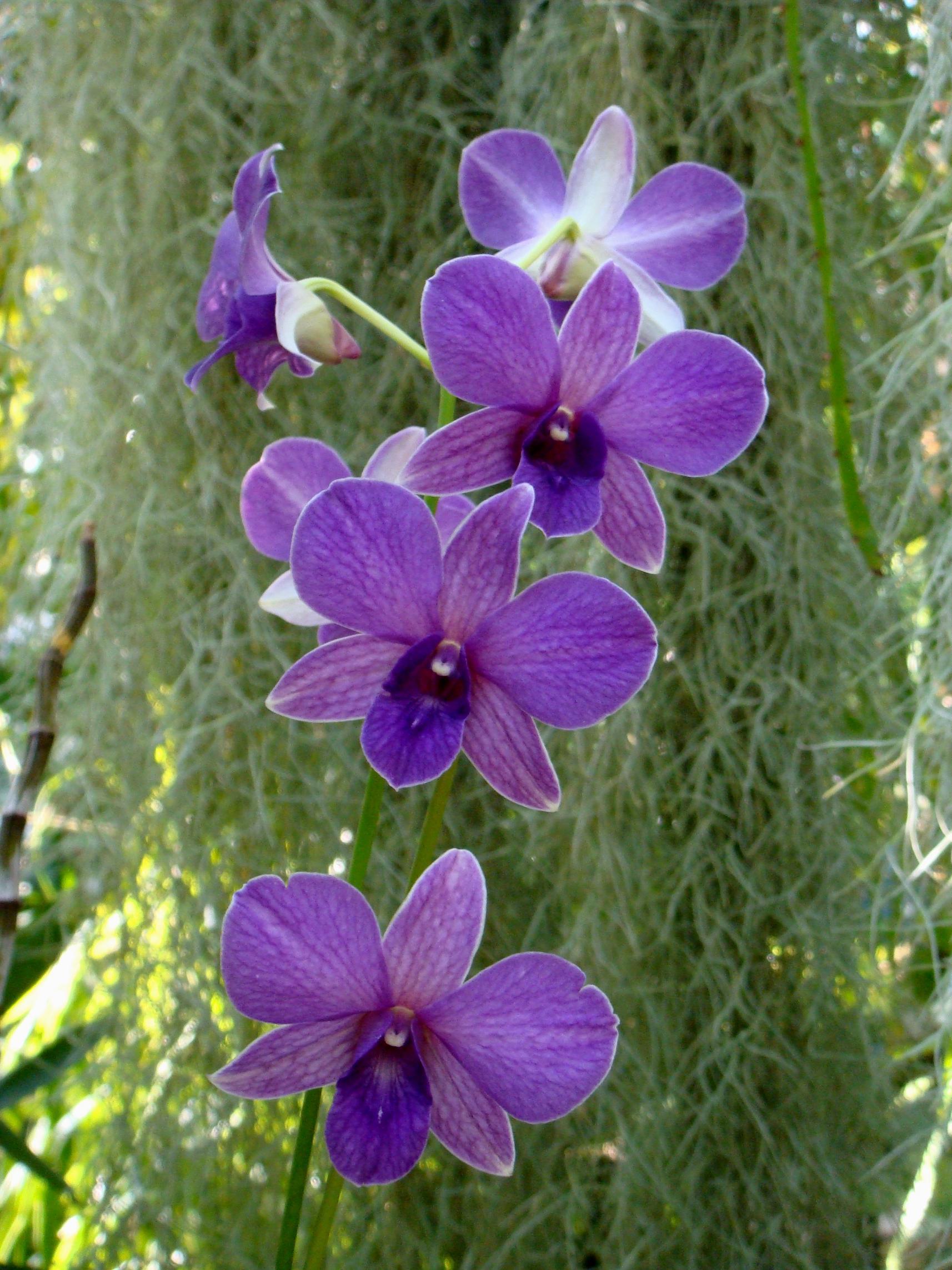 http://orchids.la.coocan.jp/Dendrobium/Dendrobium%20bigibbum/DSC04790.JPG