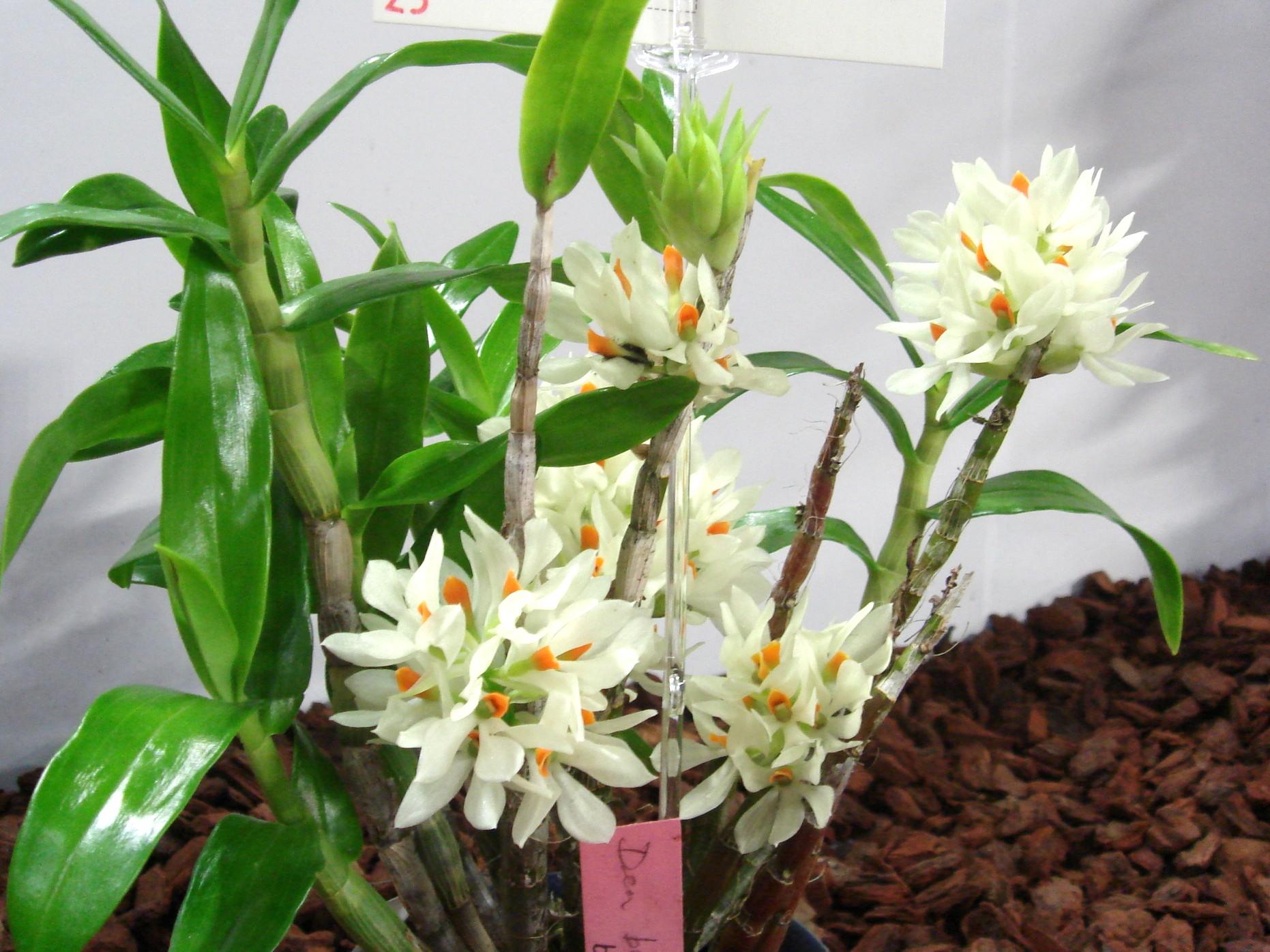 http://orchids.la.coocan.jp/Dendrobium/Dendrobium%20bracteosum/DSC06485.JPG