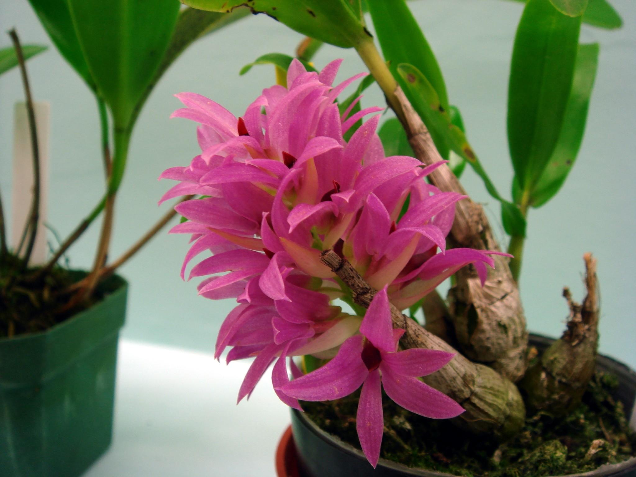 http://orchids.la.coocan.jp/Dendrobium/Dendrobium%20bracteosum/DSC08037.JPG