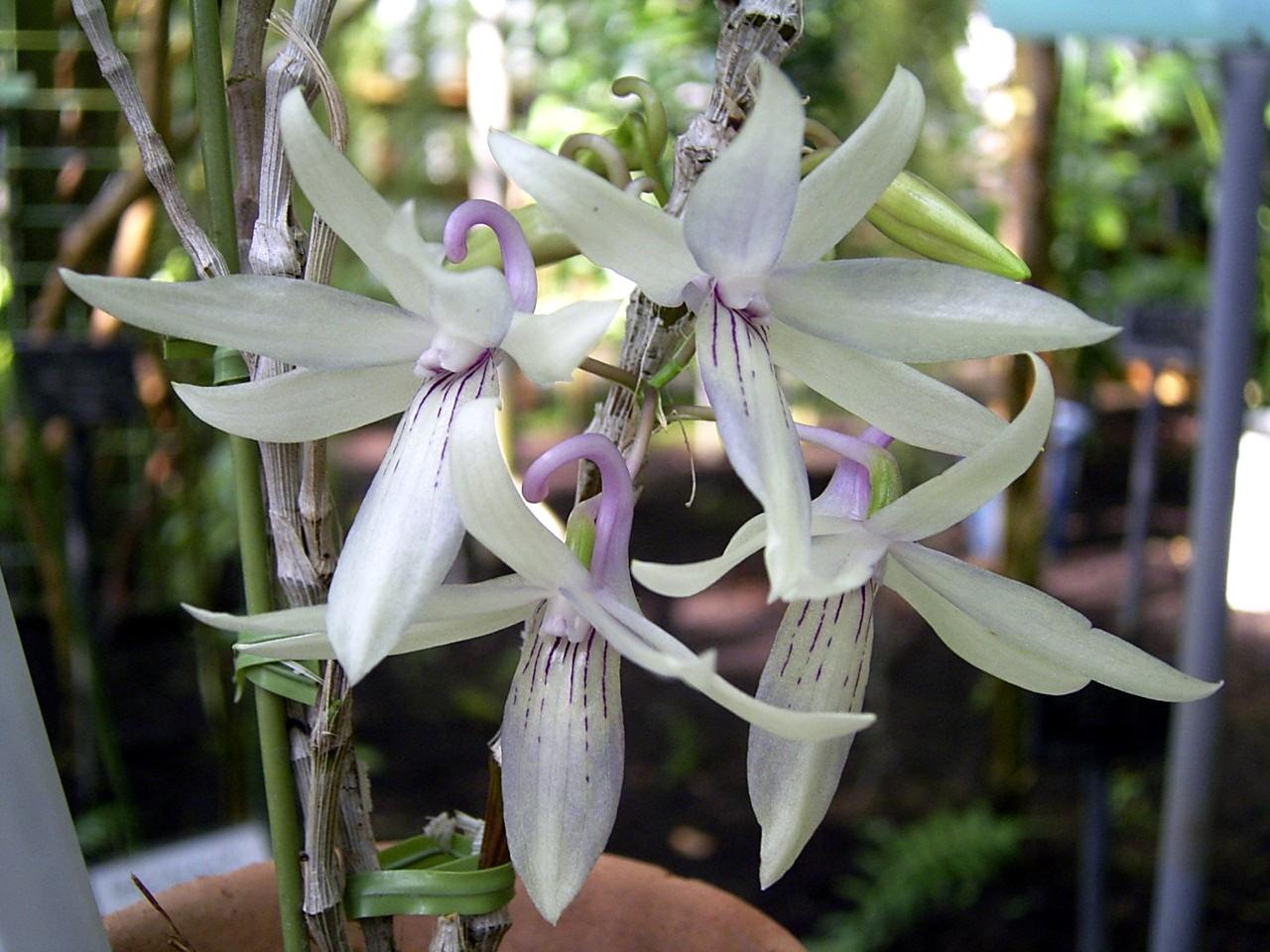 http://orchids.la.coocan.jp/Dendrobium/Dendrobium%20ceraula/R0049303.JPG