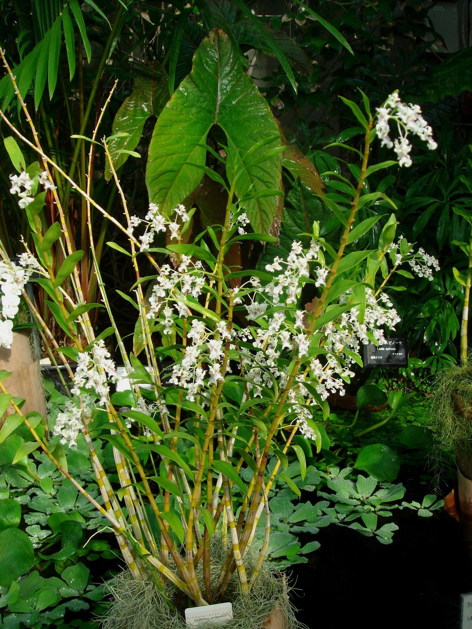http://orchids.la.coocan.jp/Dendrobium/Dendrobium%20chalmersii/DSC09012.JPG