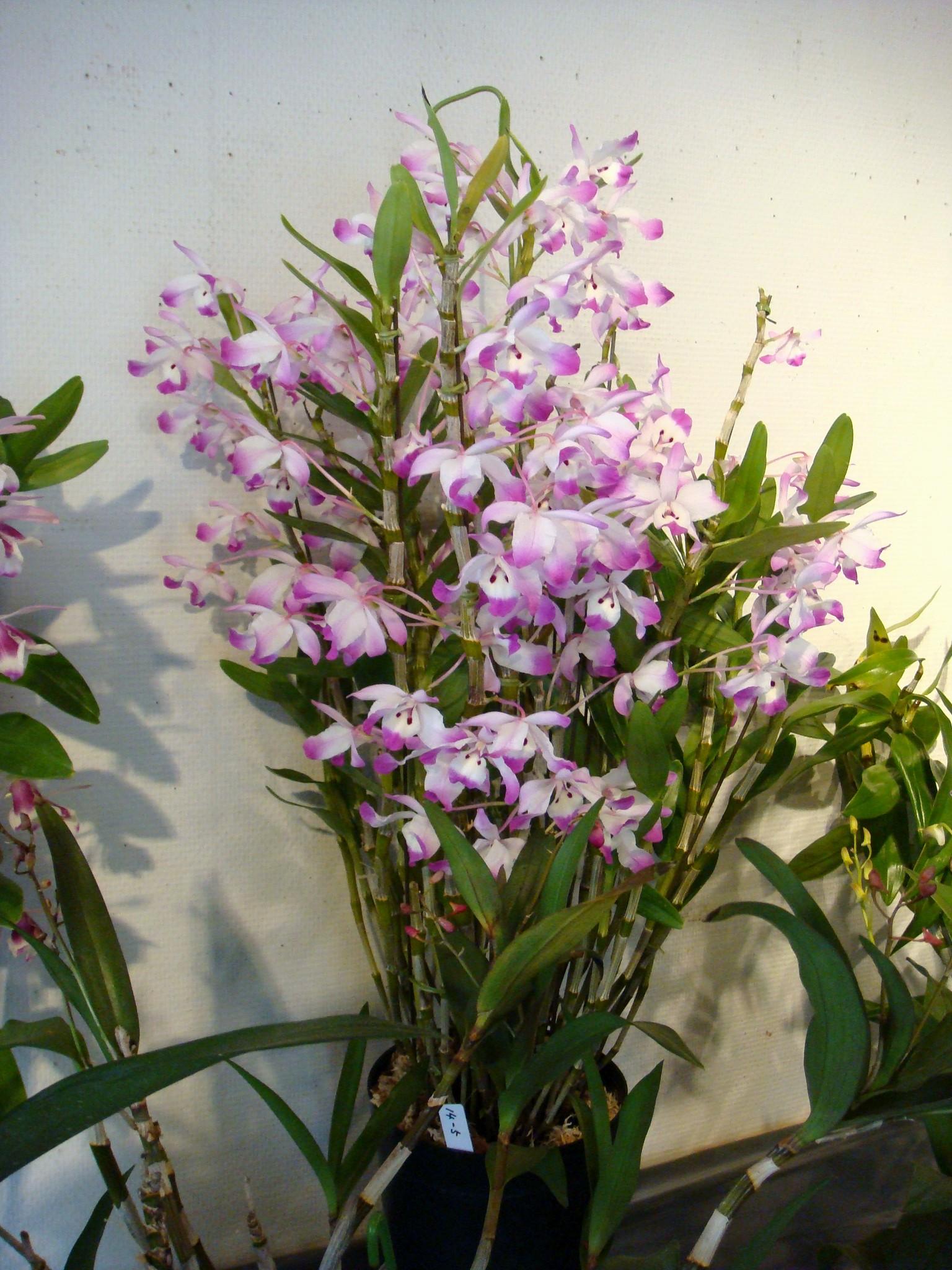 http://orchids.la.coocan.jp/Dendrobium/Dendrobium%20chlorostylum/DSC03492.JPG