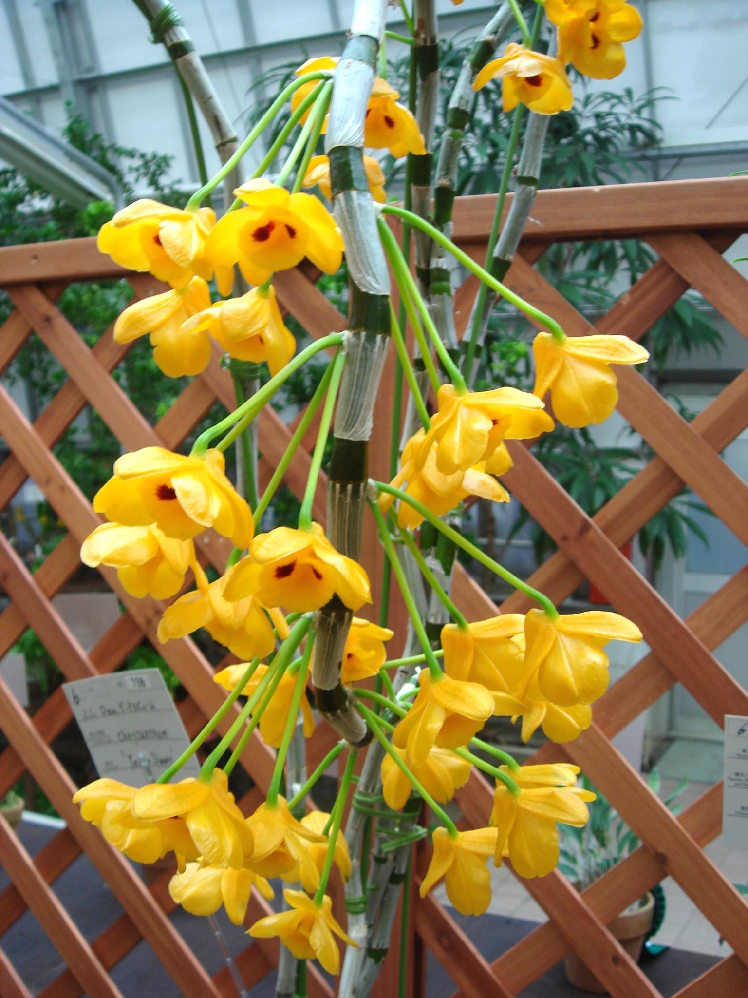 http://orchids.la.coocan.jp/Dendrobium/Dendrobium%20chrysanthum/DSC04118.JPG