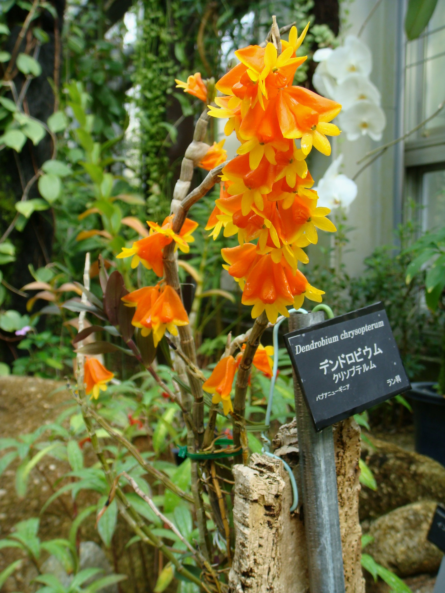 http://orchids.la.coocan.jp/Dendrobium/Dendrobium%20chrysopterum/DSC04517.JPG
