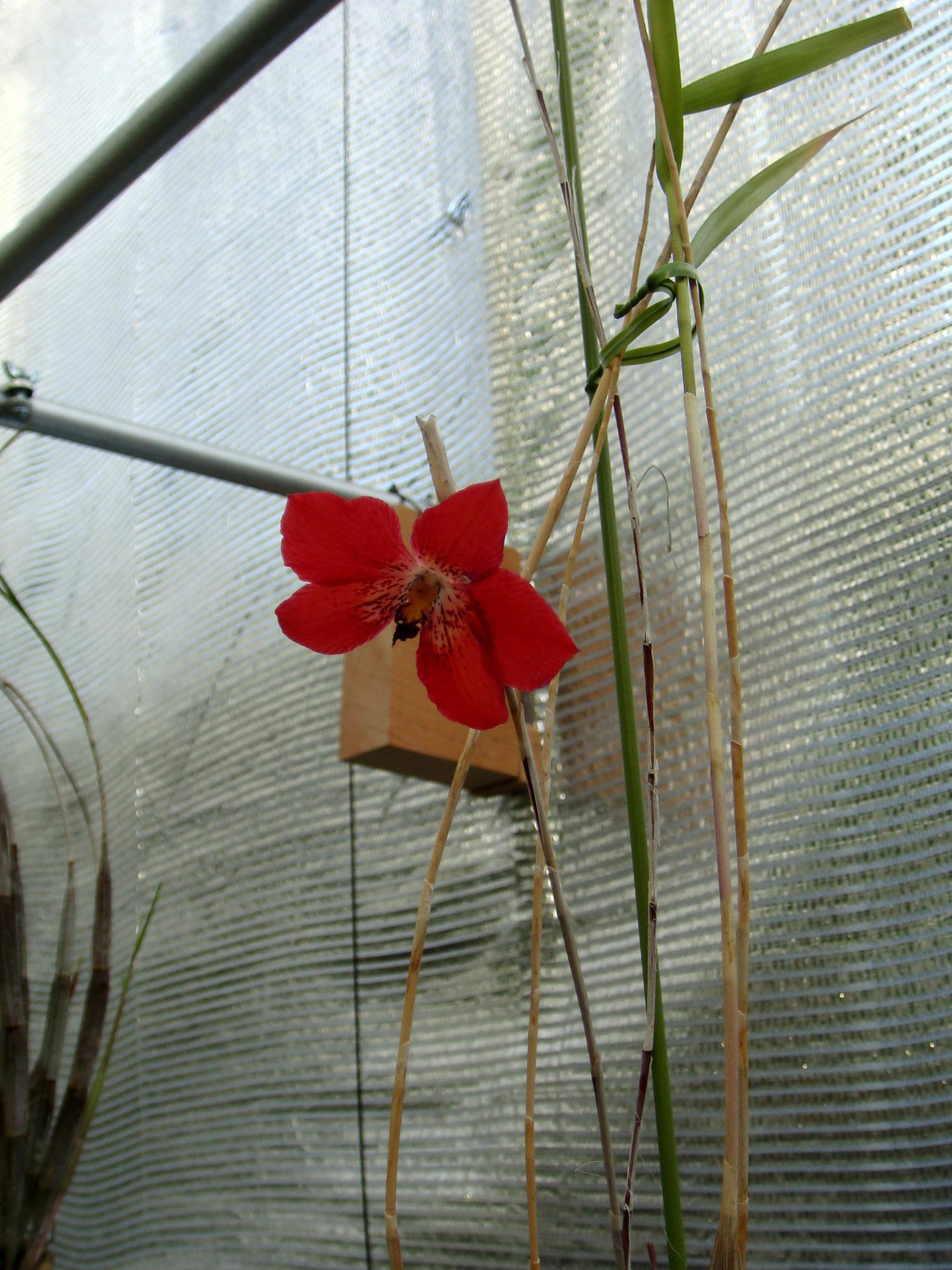 http://orchids.la.coocan.jp/Dendrobium/Dendrobium%20cinnabarinum/DSC04666.JPG