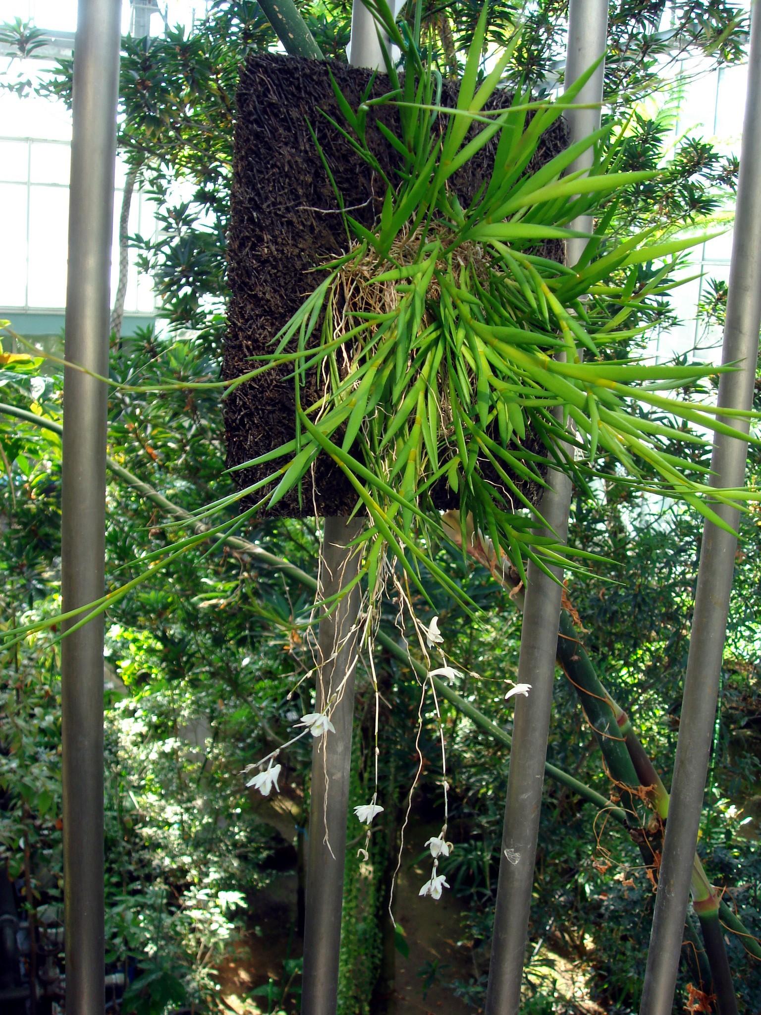 http://orchids.la.coocan.jp/Dendrobium/Dendrobium%20clavator/DSC00239.JPG