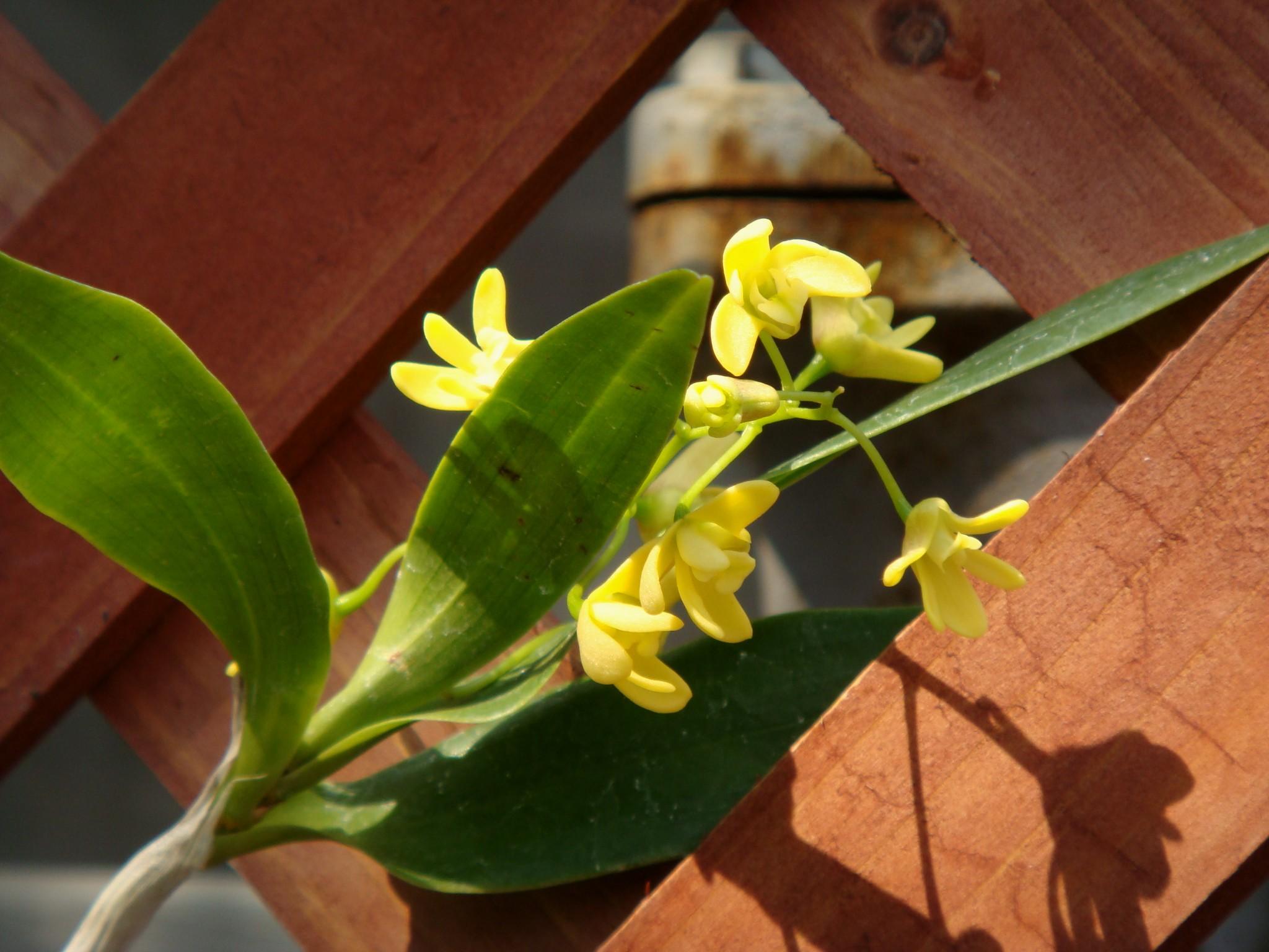 http://orchids.la.coocan.jp/Dendrobium/Dendrobium%20comptonii/DSC04142.JPG