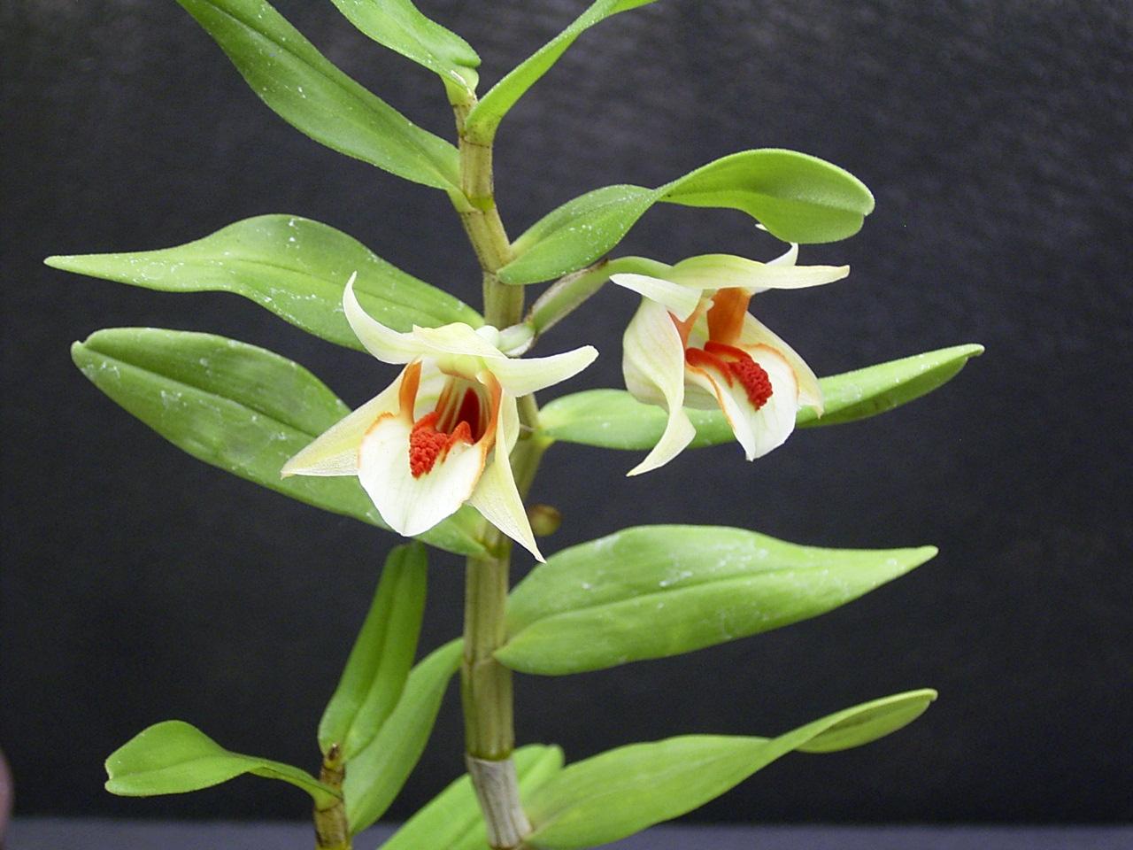 http://orchids.la.coocan.jp/Dendrobium/Dendrobium%20cruentum/R0049496.JPG