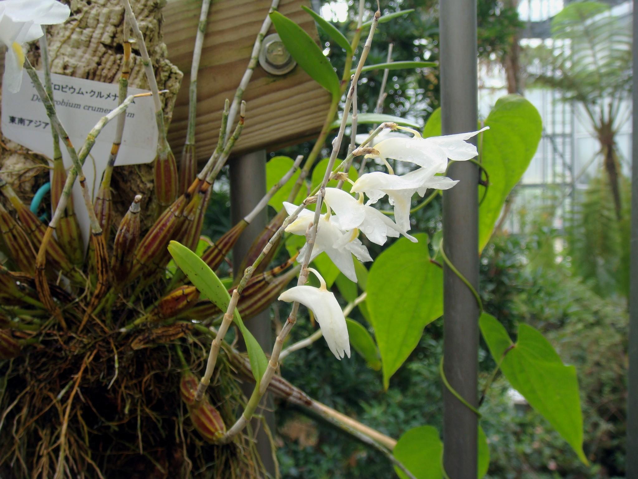 http://orchids.la.coocan.jp/Dendrobium/Dendrobium%20crumenatum/DSC03204.JPG