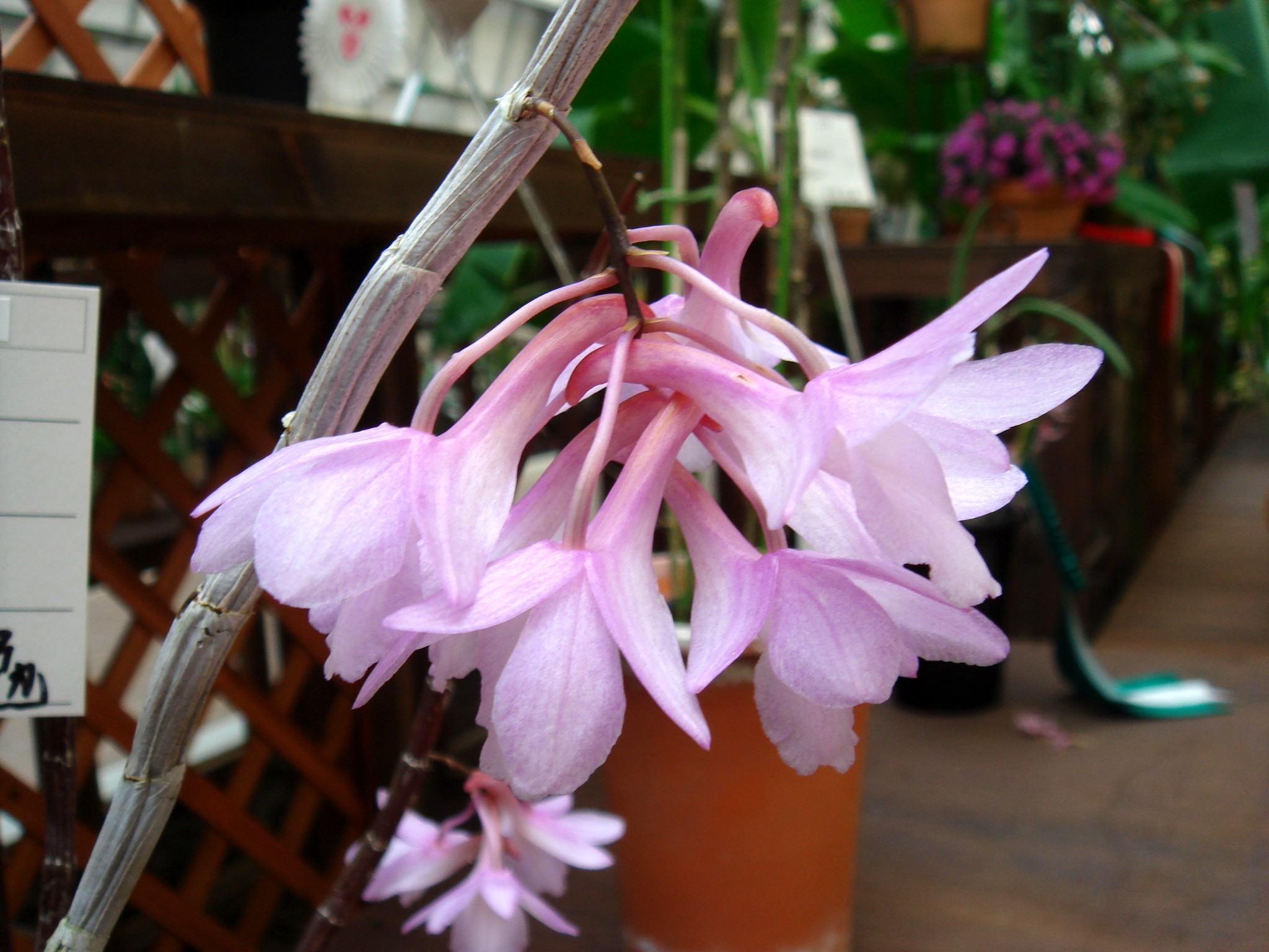 http://orchids.la.coocan.jp/Dendrobium/Dendrobium%20cumulatum/DSC03835.JPG