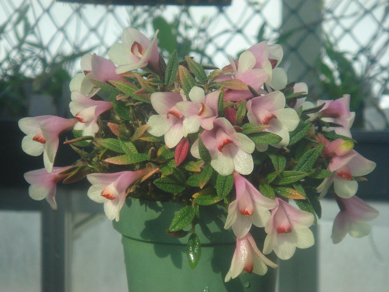 http://orchids.la.coocan.jp/Dendrobium/Dendrobium%20cuthbertsonii/DSC05294.JPG