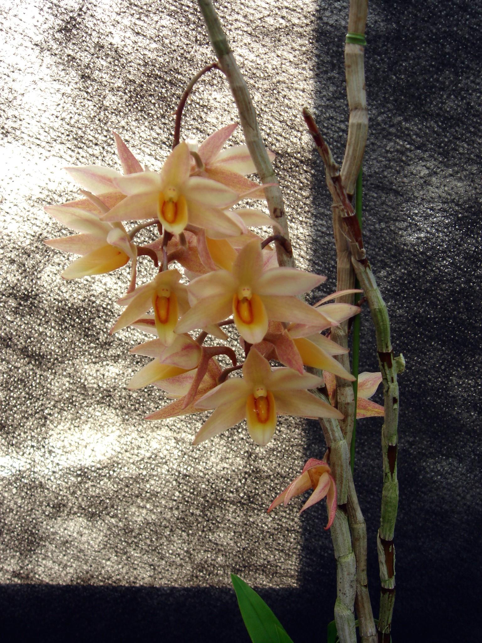 http://orchids.la.coocan.jp/Dendrobium/Dendrobium%20cymboglossum/DSC08889.JPG