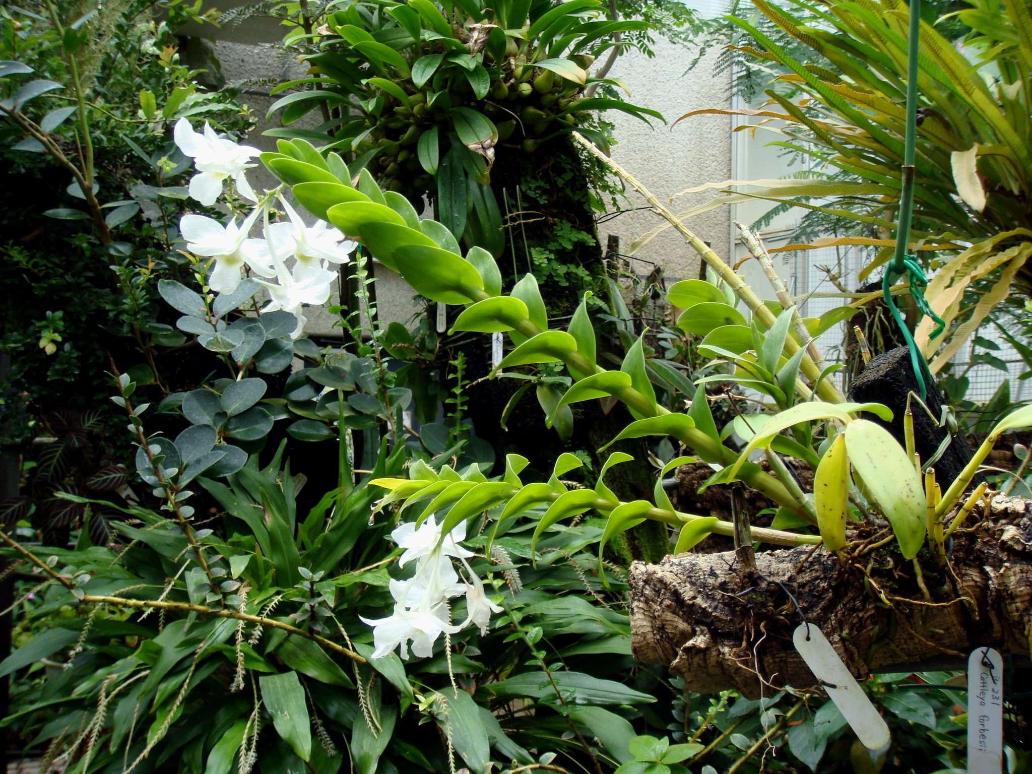 http://orchids.la.coocan.jp/Dendrobium/Dendrobium%20dearei/DSC00278.JPG
