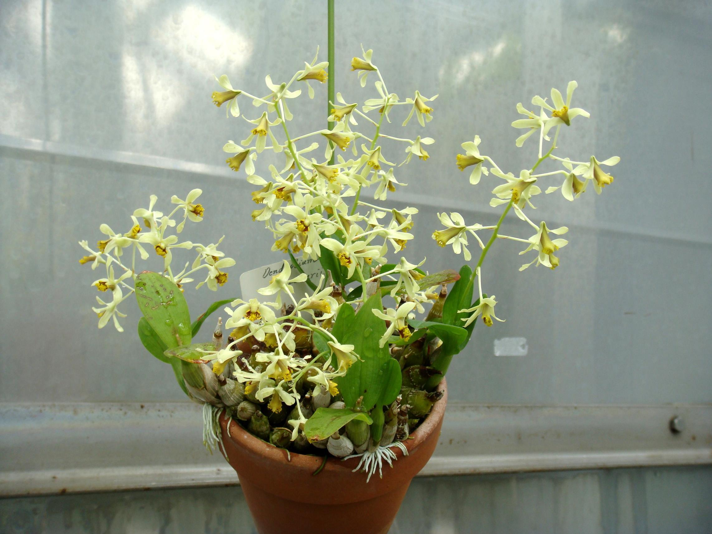 http://orchids.la.coocan.jp/Dendrobium/Dendrobium%20delacourii/DSC04973.JPG