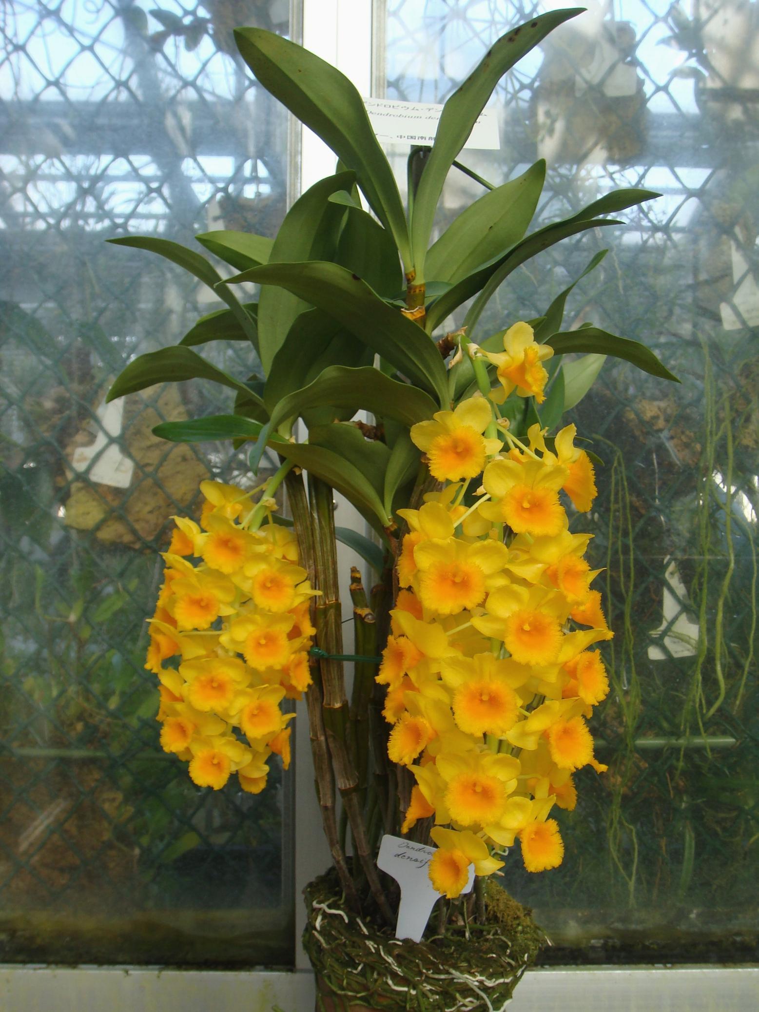 http://orchids.la.coocan.jp/Dendrobium/Dendrobium%20densiflorum/DSC04230.JPG