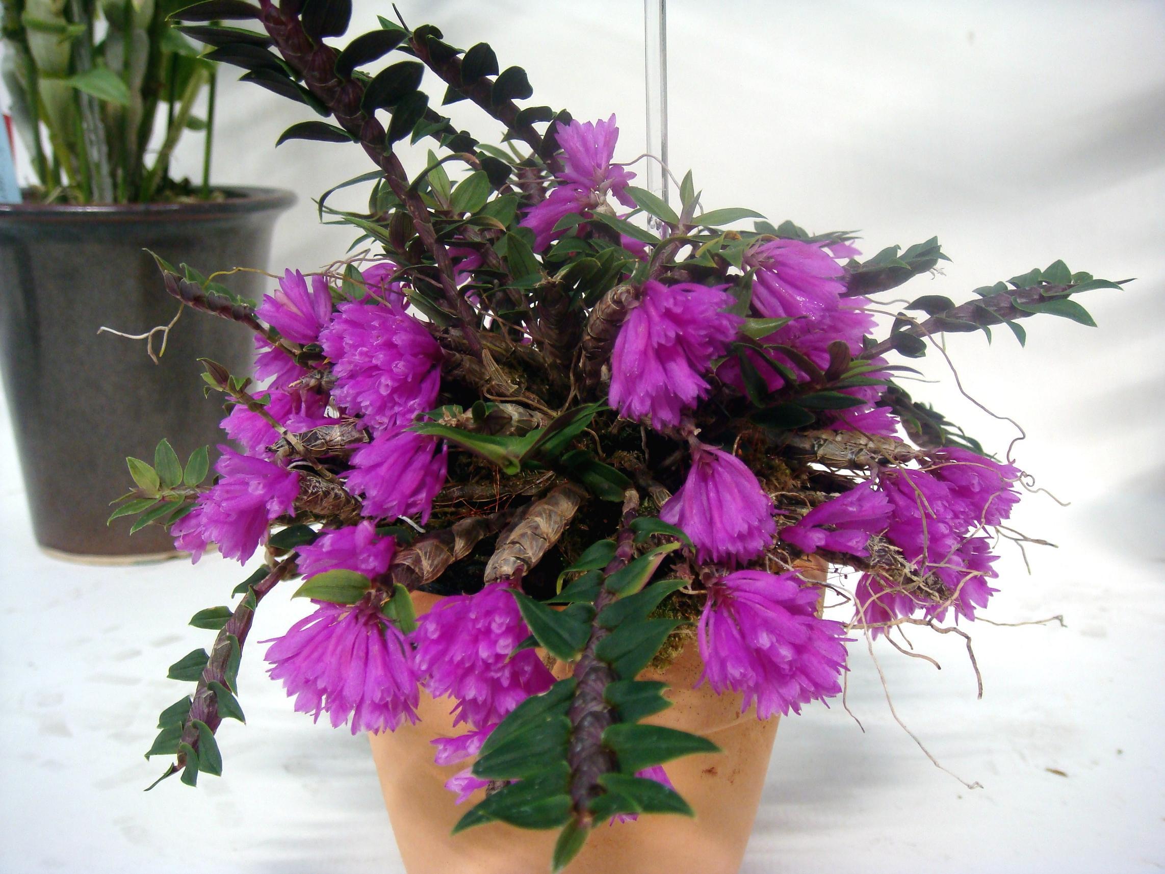 http://orchids.la.coocan.jp/Dendrobium/Dendrobium%20dichaeoides/DSC02293.JPG
