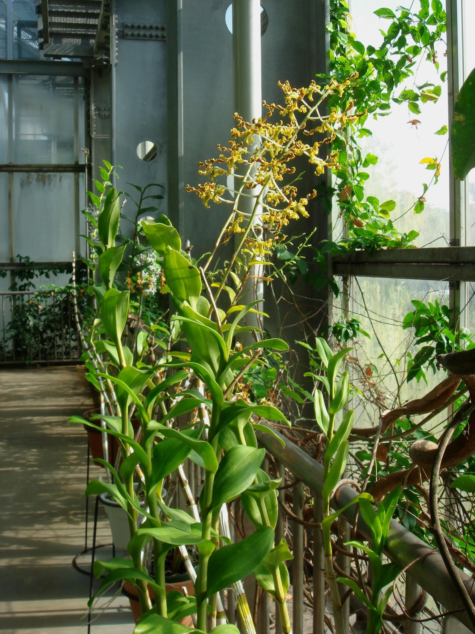 http://orchids.la.coocan.jp/Dendrobium/Dendrobium%20discolor/DSC08464.JPG