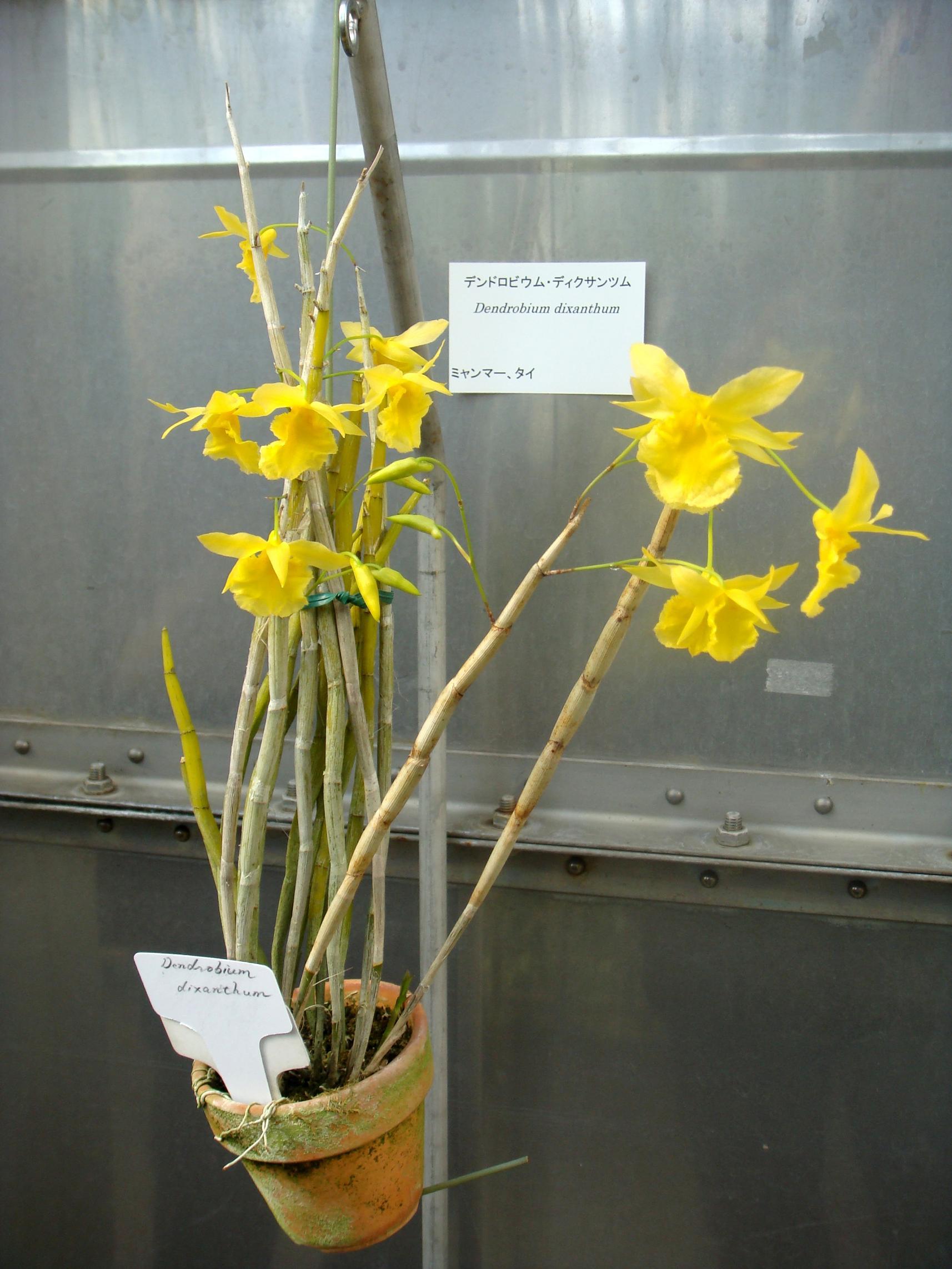 http://orchids.la.coocan.jp/Dendrobium/Dendrobium%20dixanthum/DSC03043.JPG