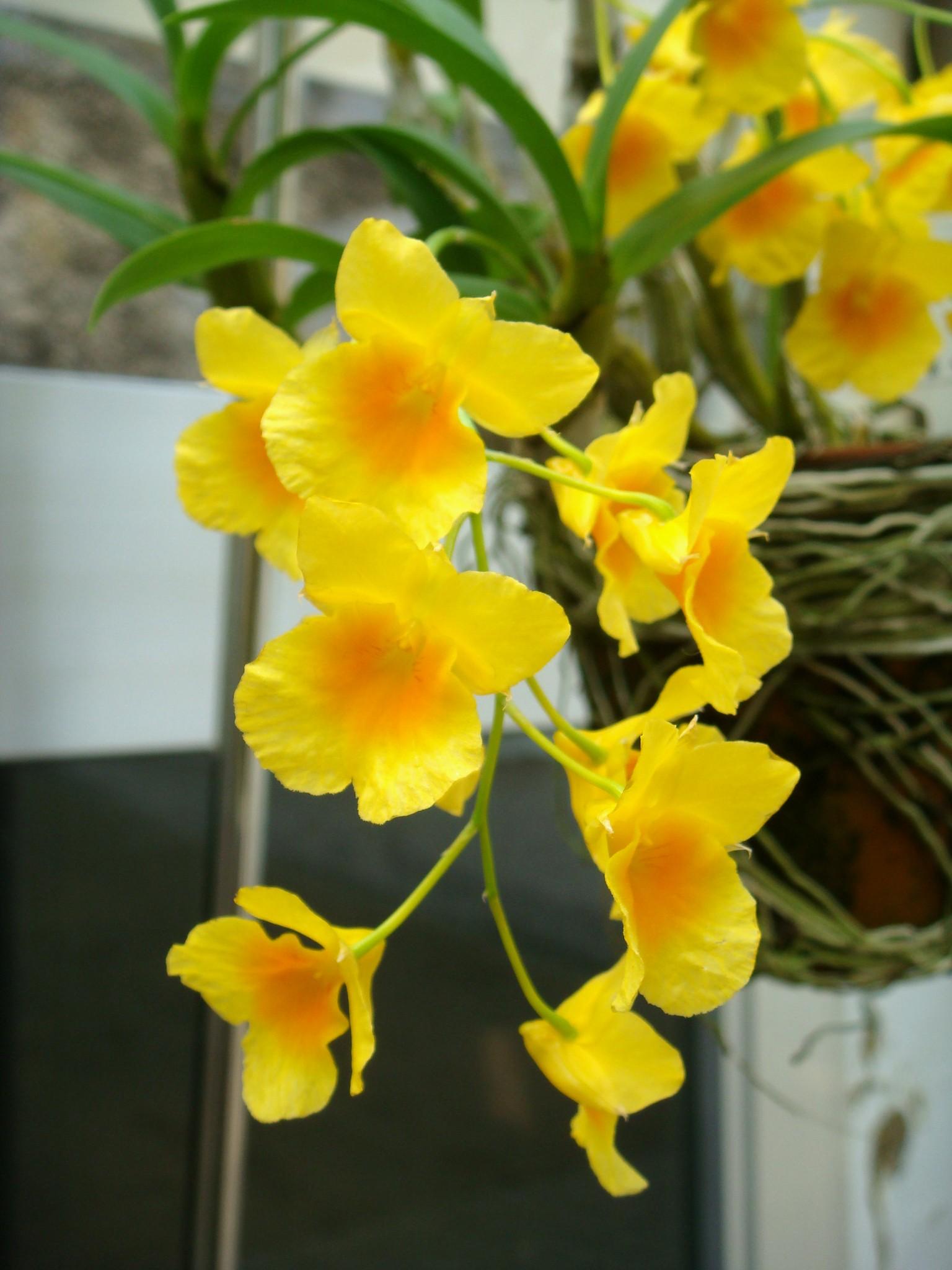 http://orchids.la.coocan.jp/Dendrobium/Dendrobium%20ejirii/DSC05467.JPG