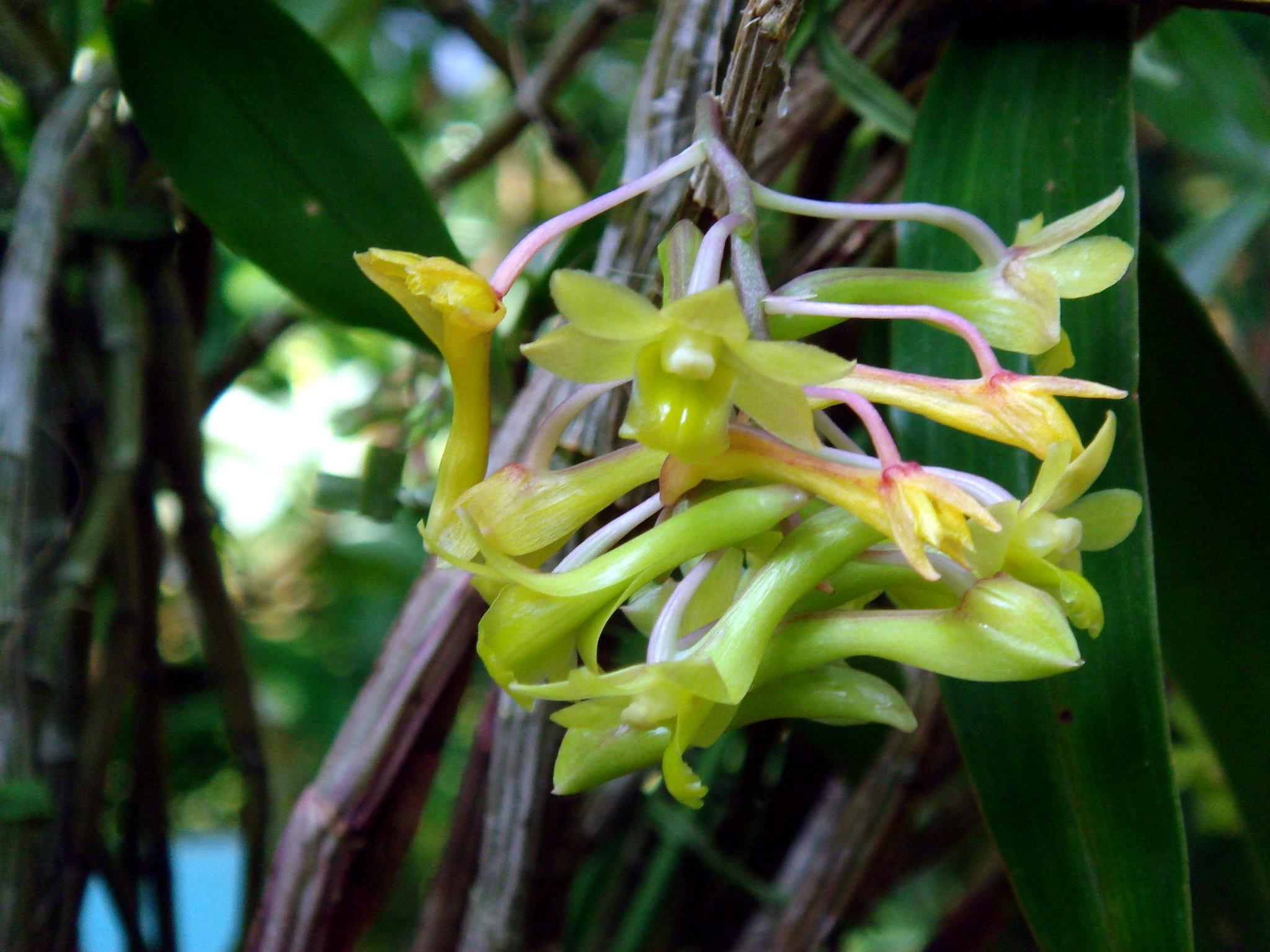 http://orchids.la.coocan.jp/Dendrobium/Dendrobium%20epidendropsis/DSC09160.JPG