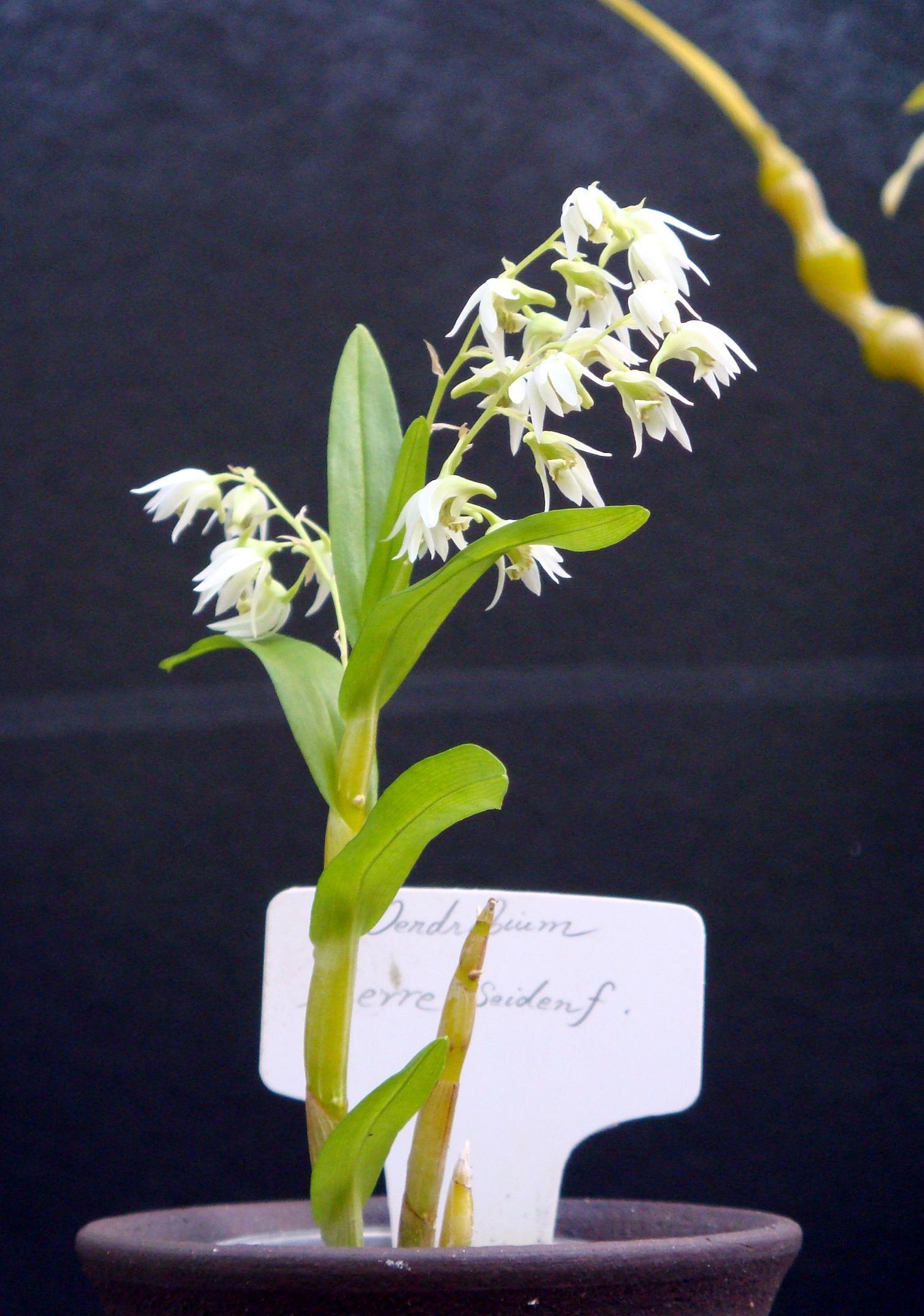 http://orchids.la.coocan.jp/Dendrobium/Dendrobium%20eserre/DSC02826.JPG