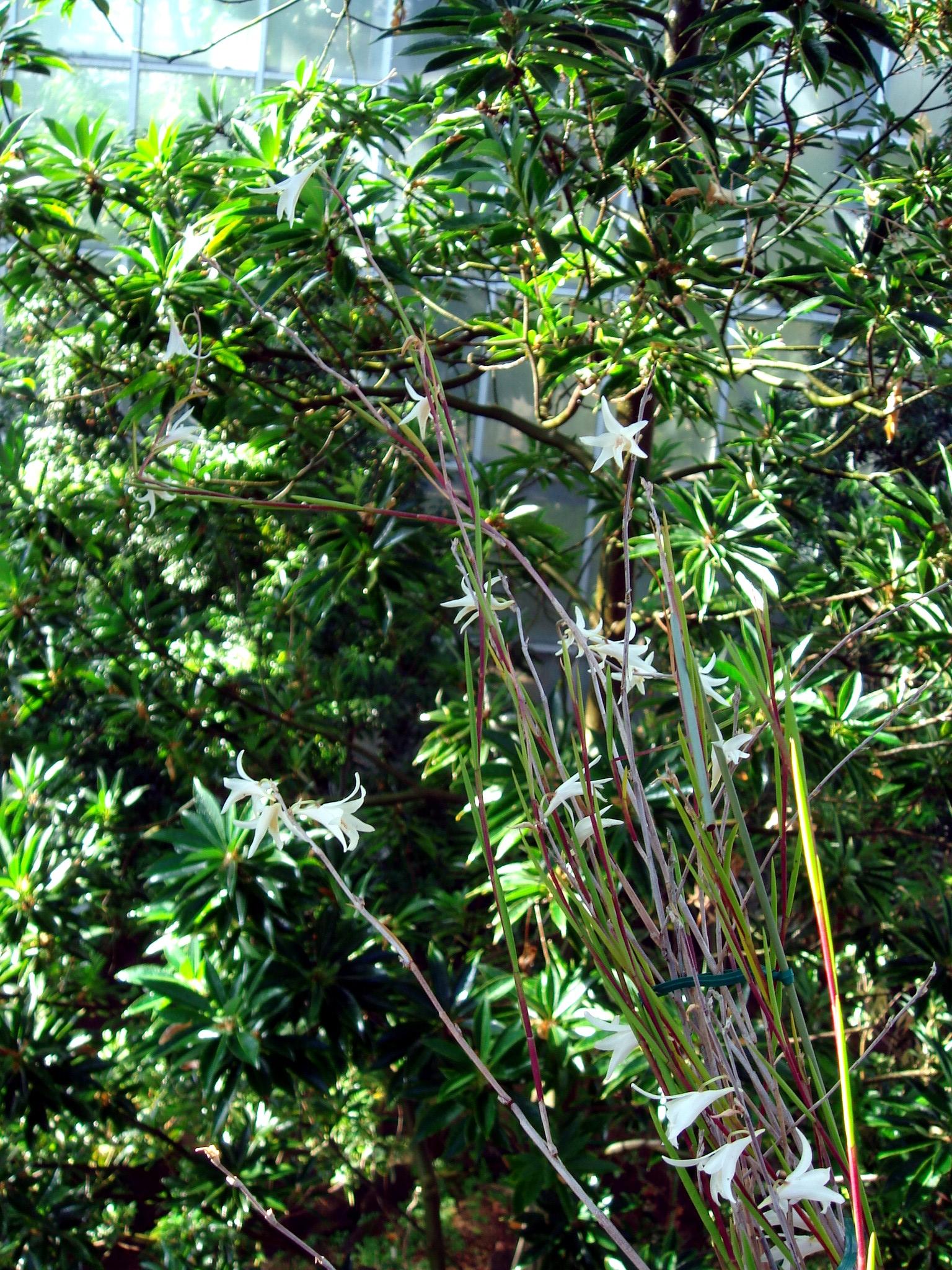 http://orchids.la.coocan.jp/Dendrobium/Dendrobium%20exile/DSC08631.JPG