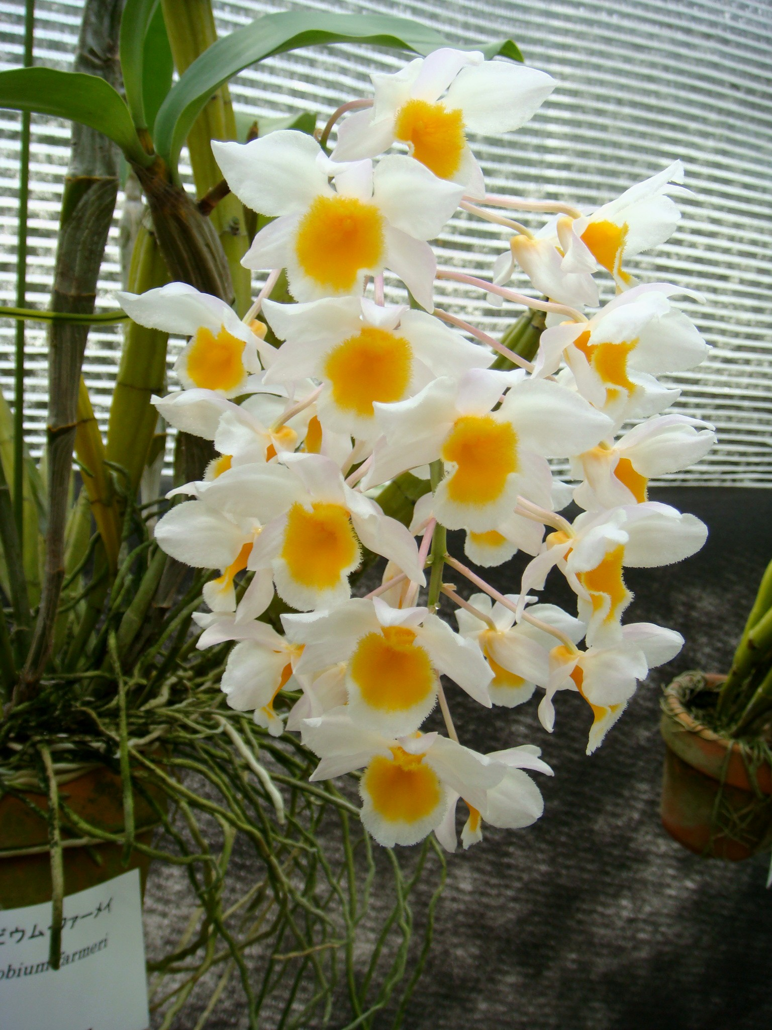 http://orchids.la.coocan.jp/Dendrobium/Dendrobium%20farmeri/DSC05866.JPG