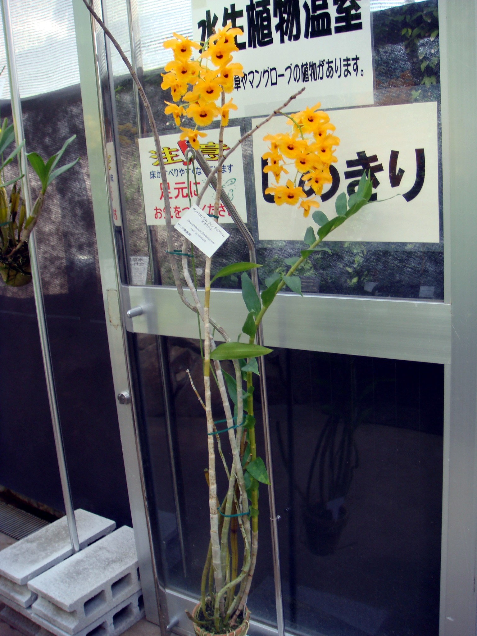 http://orchids.la.coocan.jp/Dendrobium/Dendrobium%20fimbriatum%20oculatum/DSC04995.JPG