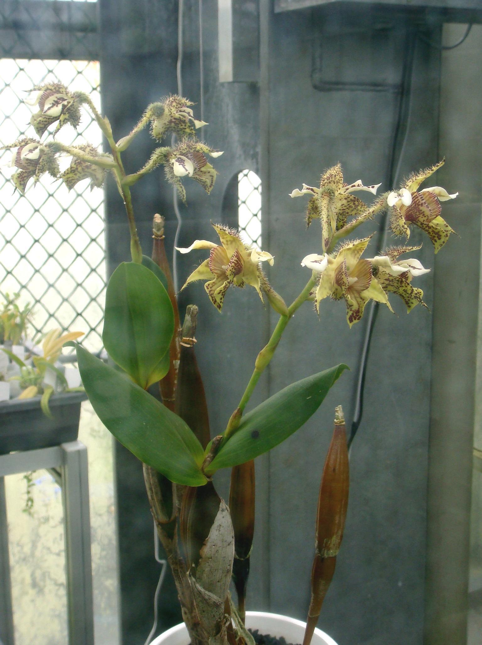 http://orchids.la.coocan.jp/Dendrobium/Dendrobium%20finisterrae/DSC00720.JPG